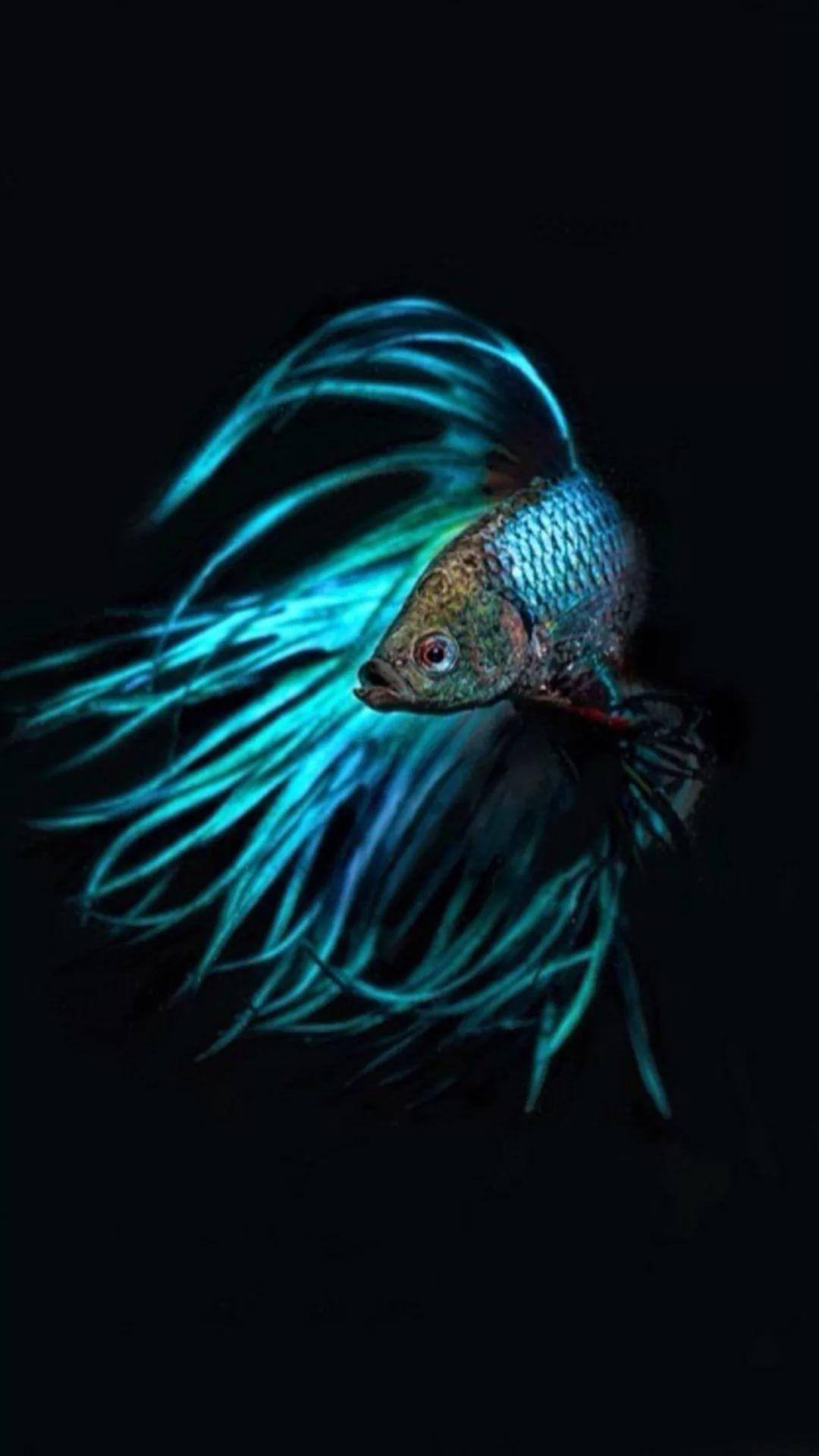 18 Betta Fish iPhone Wallpapers - WallpaperBoat