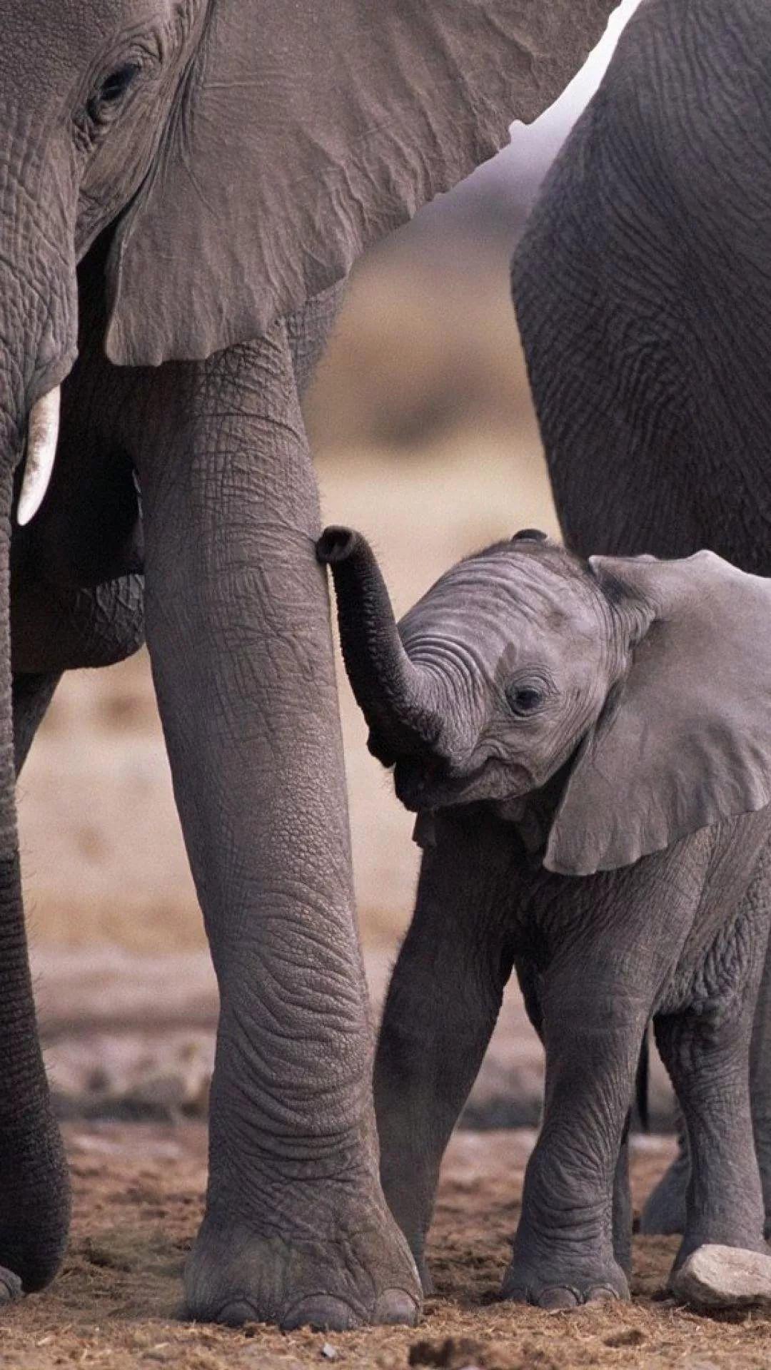 Elephant Tumblr iPhone 5 wallpaper