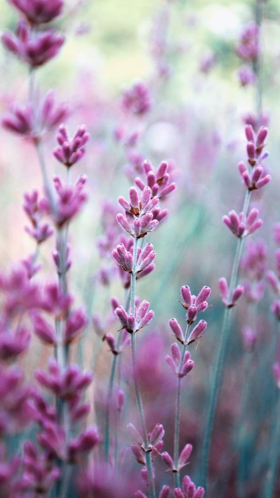 17 Lavender Iphone Wallpapers Wallpaperboat Find lavender pictures and lavender photos on desktop nexus. 17 lavender iphone wallpapers