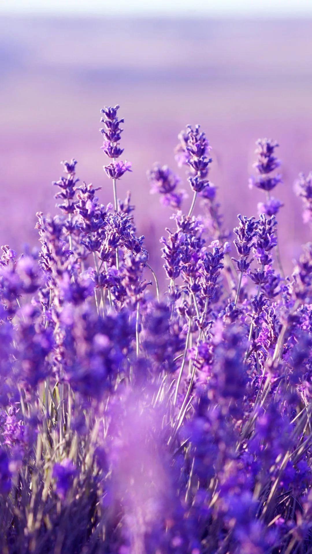 Lavender iPhone 6 wallpaper