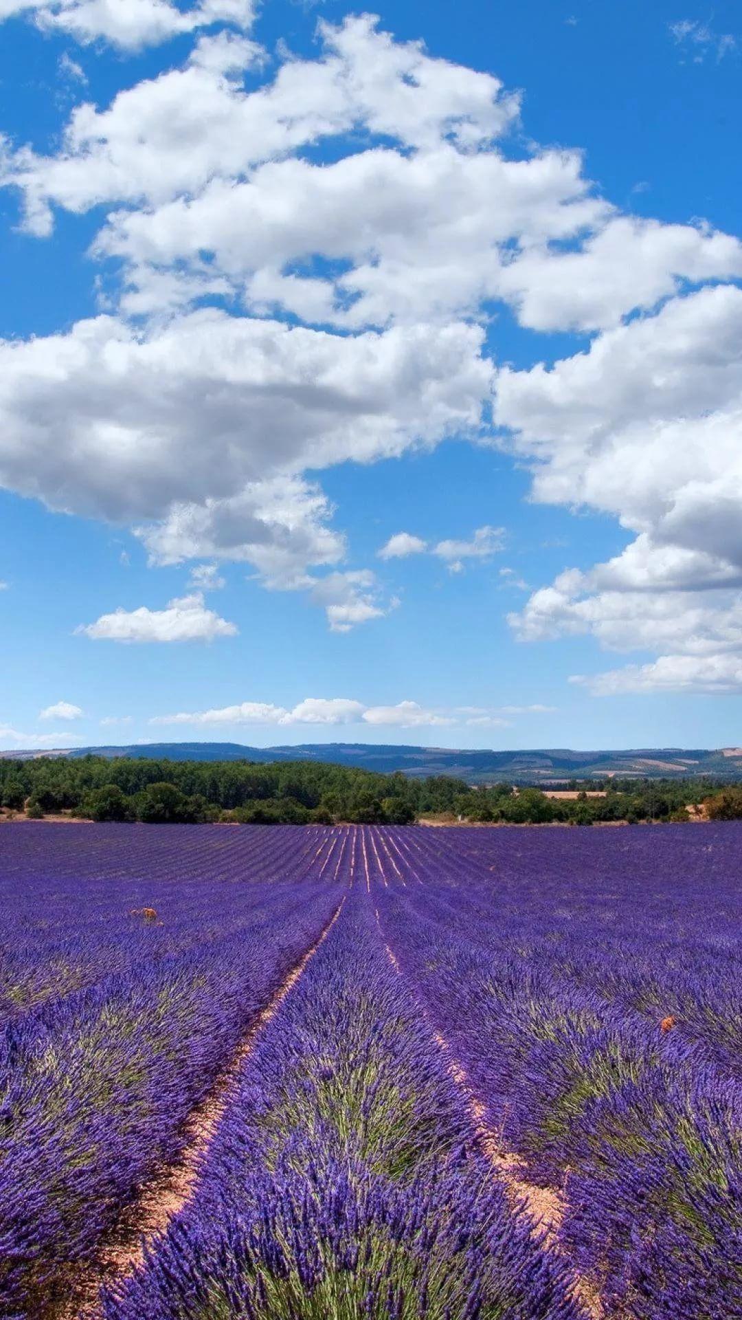 Lavender phone wallpaper