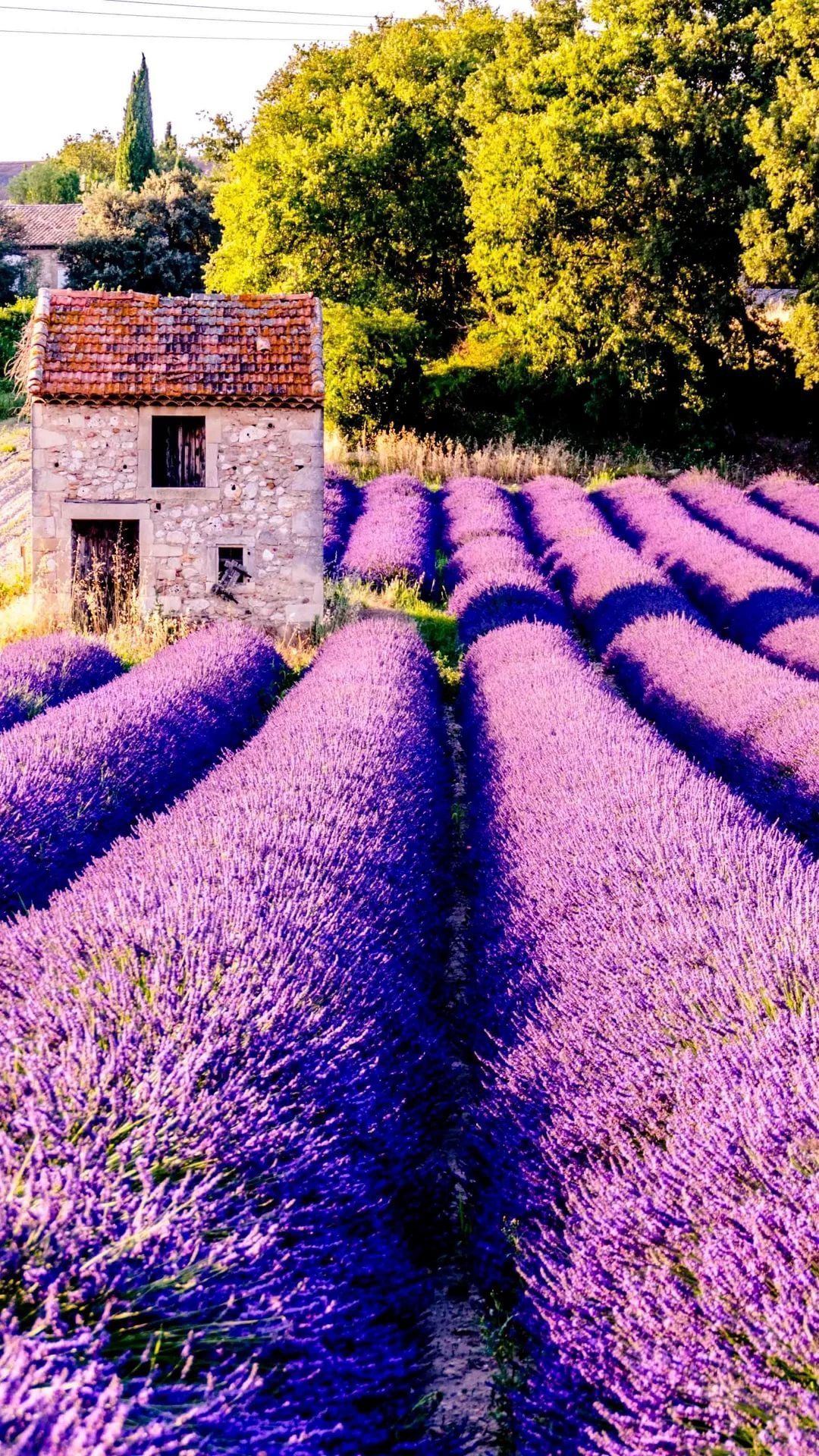 Lavender wallpaper for android