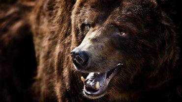 A Desktop Wallpaper Of Macro, Nature, Grizzly Bear