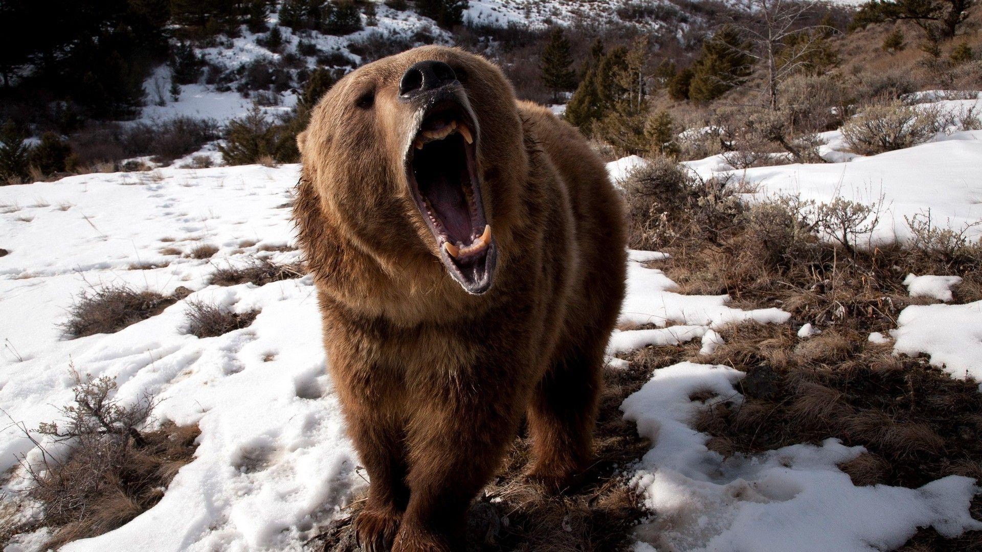 Bear, Wildlife, Brown Bear, Snow, Grizzly Bear Wallpaper In Resol