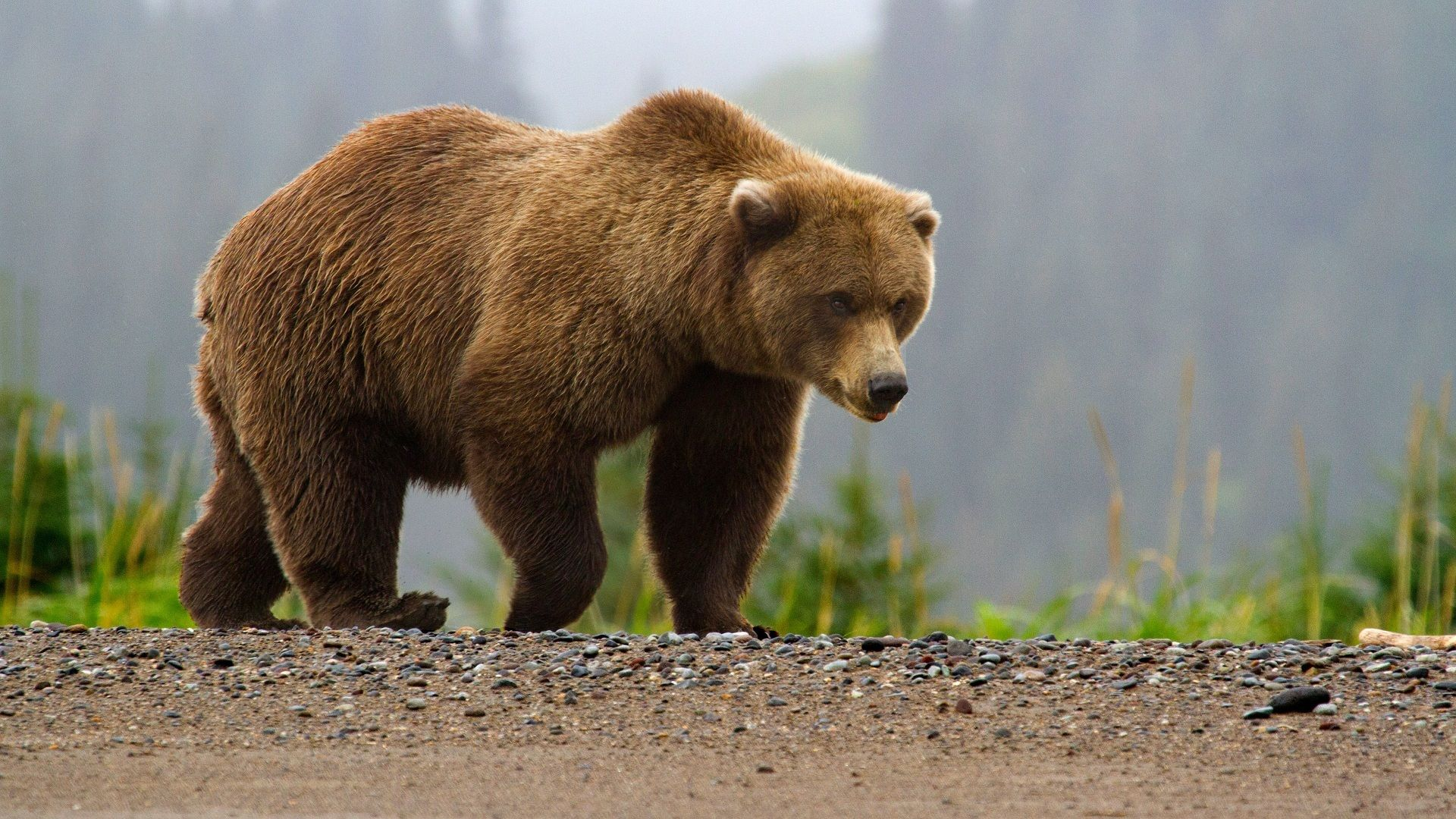 Bears Brown Bears Animals Photo Animal, Bear, Grizzly Wallpaper