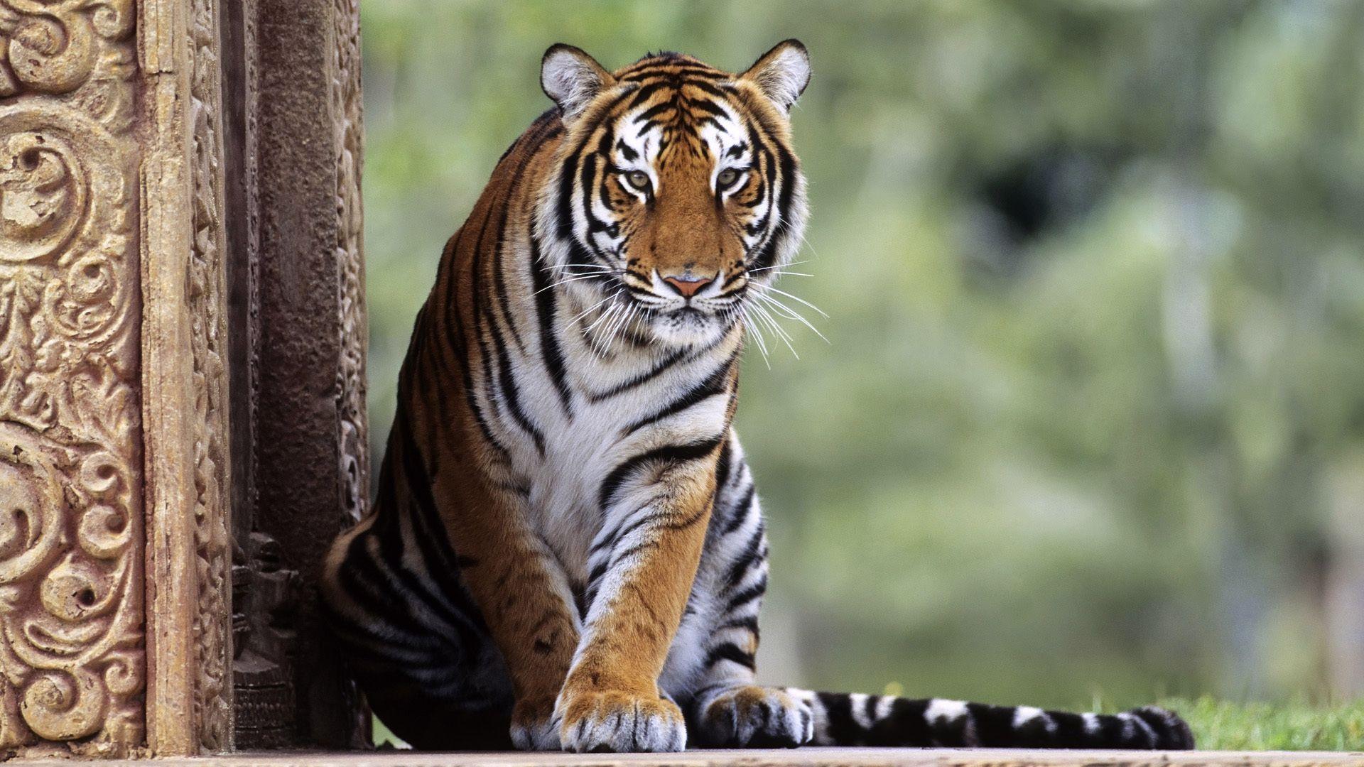 Big Cats Tigers Animals Photo Animal, Tiger Wallpaper Image