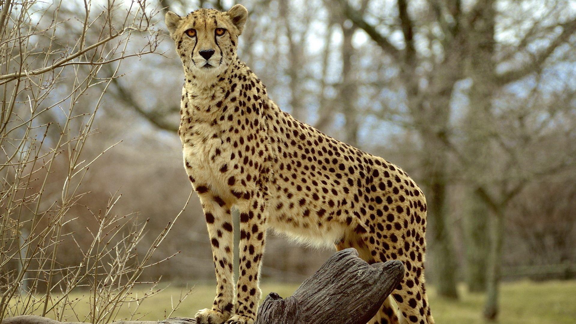 Cheetah, Snout, View, Predator