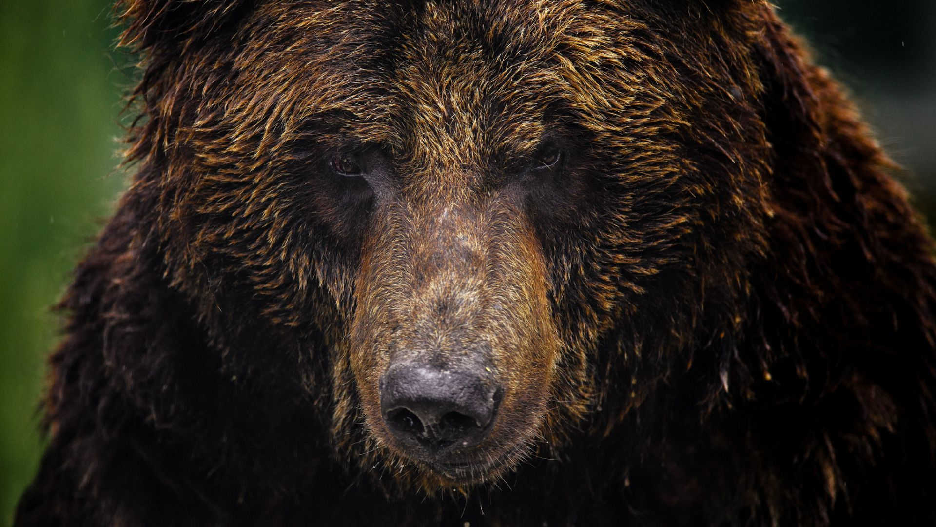 Download Wallpaper Face, Background, Bear, Grizzly, Animals Section In The Permit