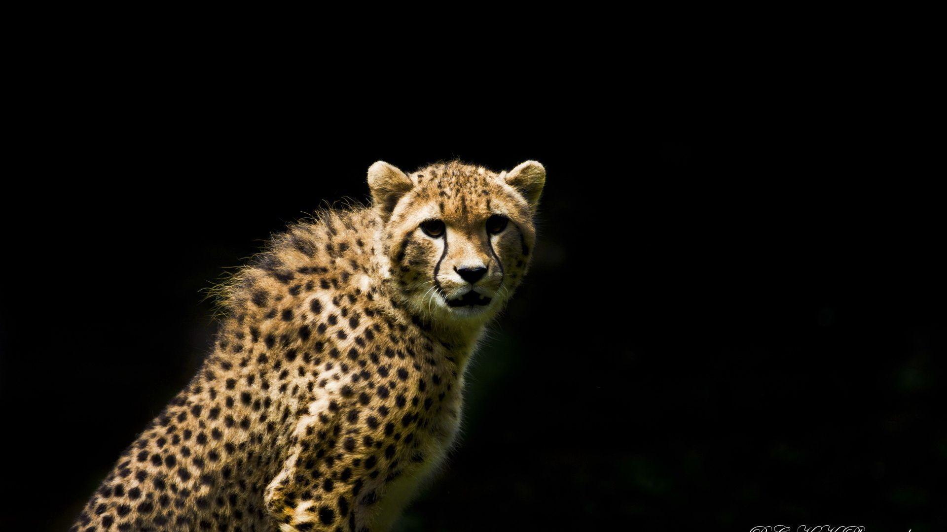 Download Wallpapers For Cheetah, Eyes, Predator