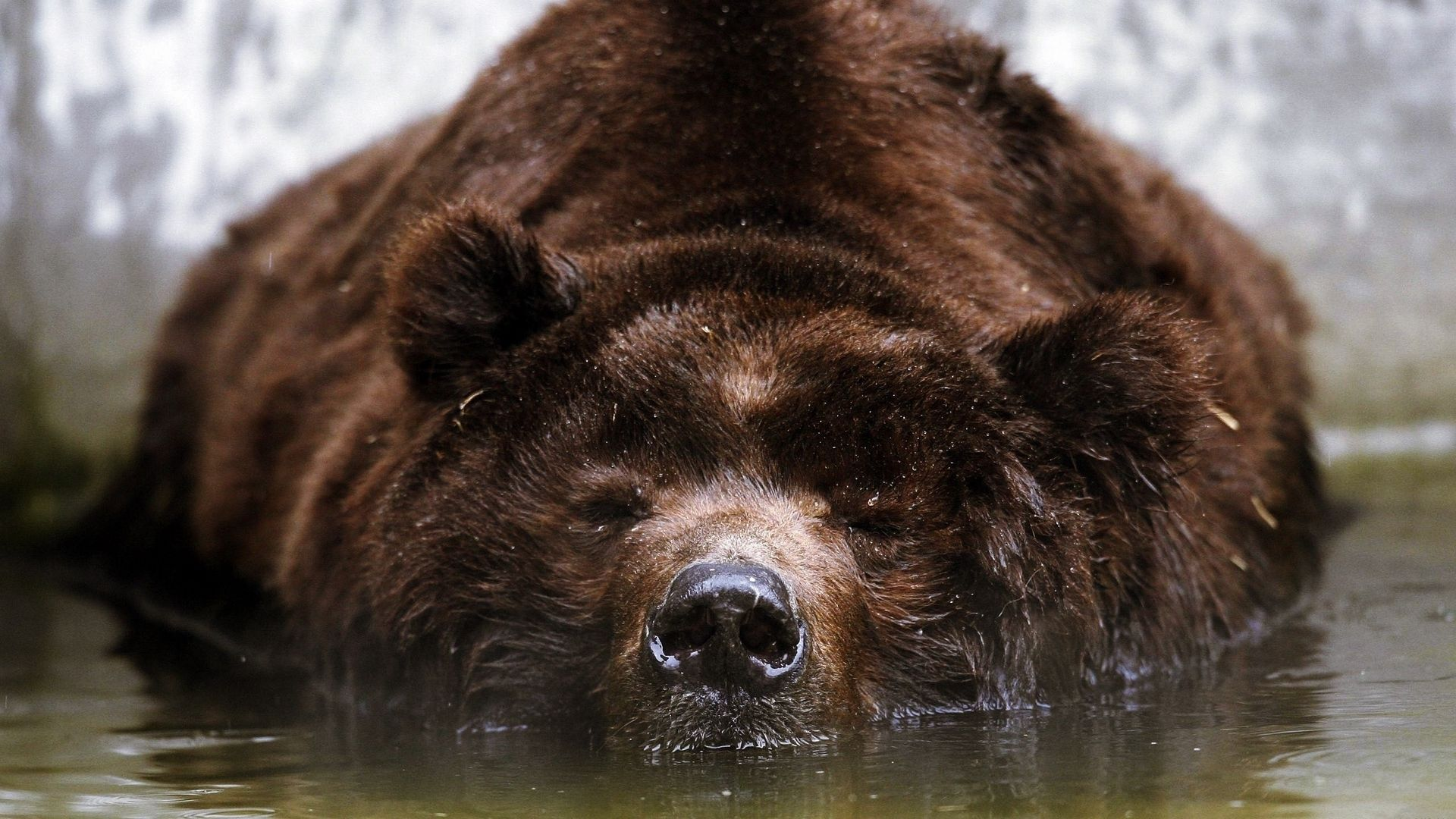 Download Bear, Brown, Swimming, Water, Face Wallpaper, Background