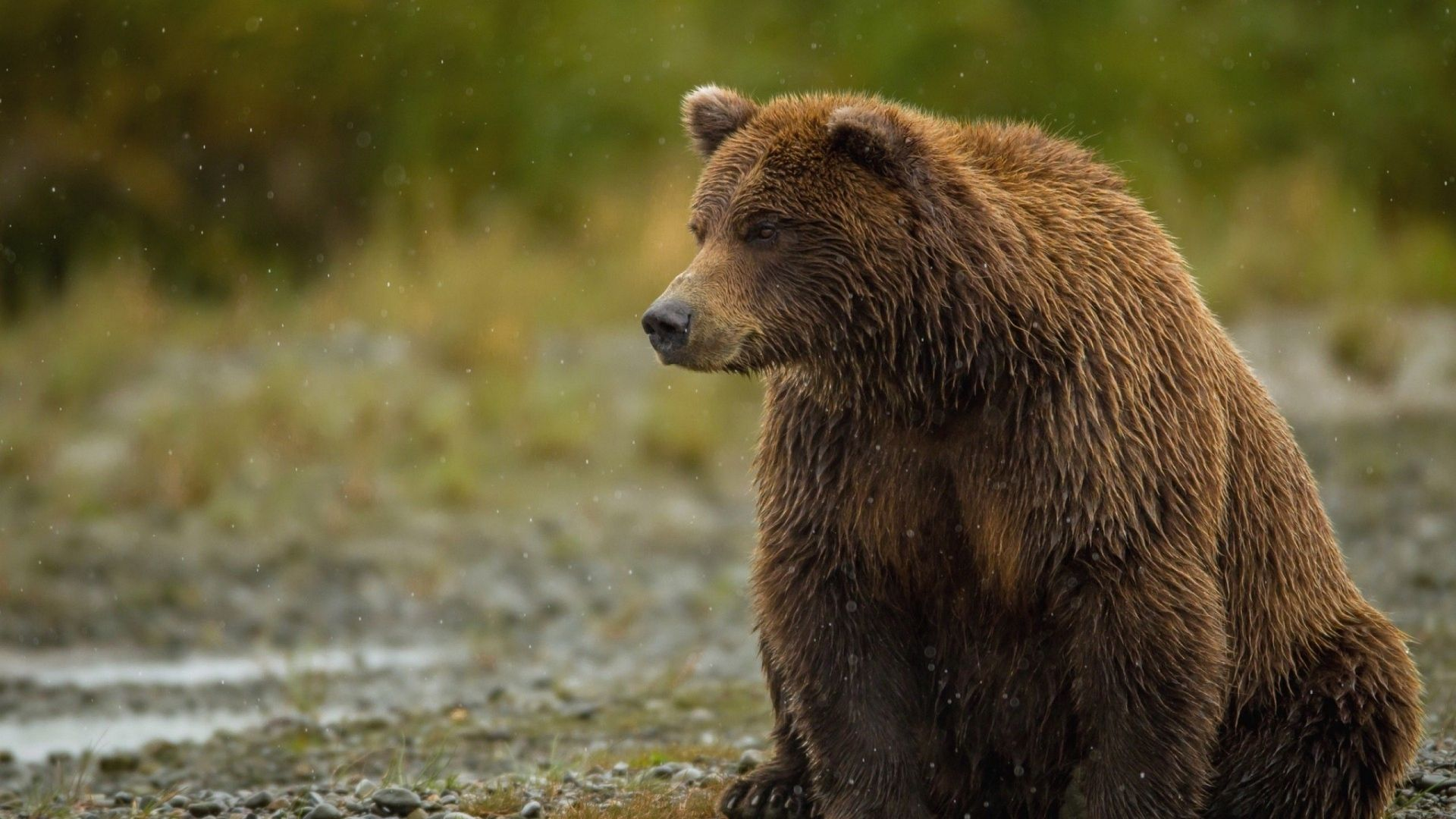 Download Bear, Sitting, Thick Wallpaper, Background Full Hd, Hdtv