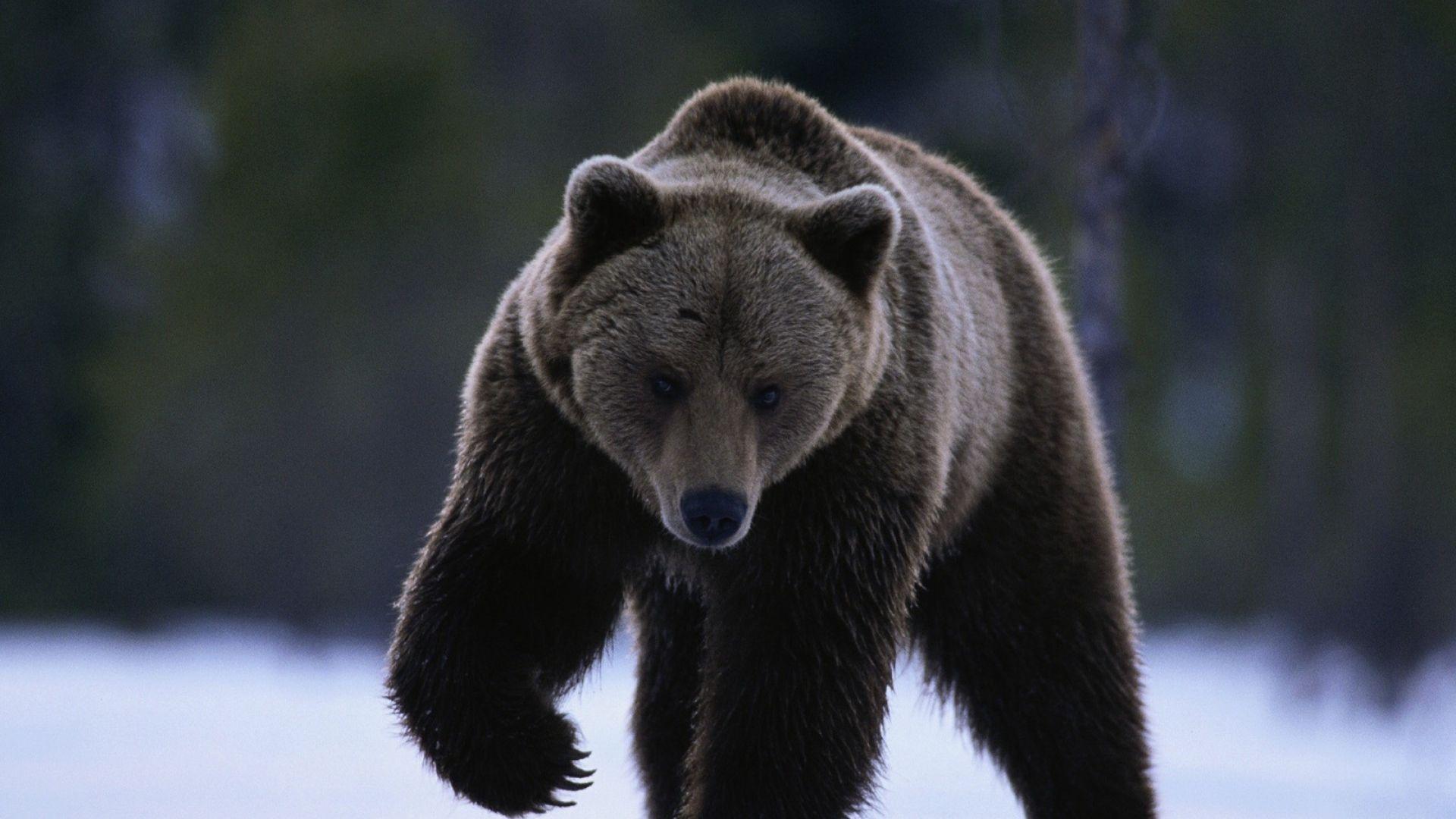 Download Bear, Snow, Walk, Beast Wallpaper, Background Full Hd