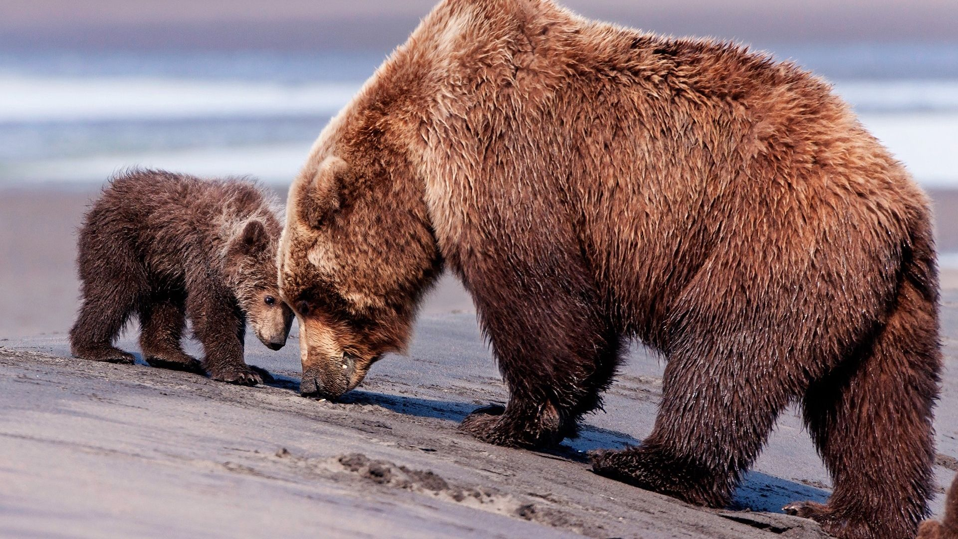 Download Bears, Couple, Baby Wallpaper, Background Full Hd, Hdtv