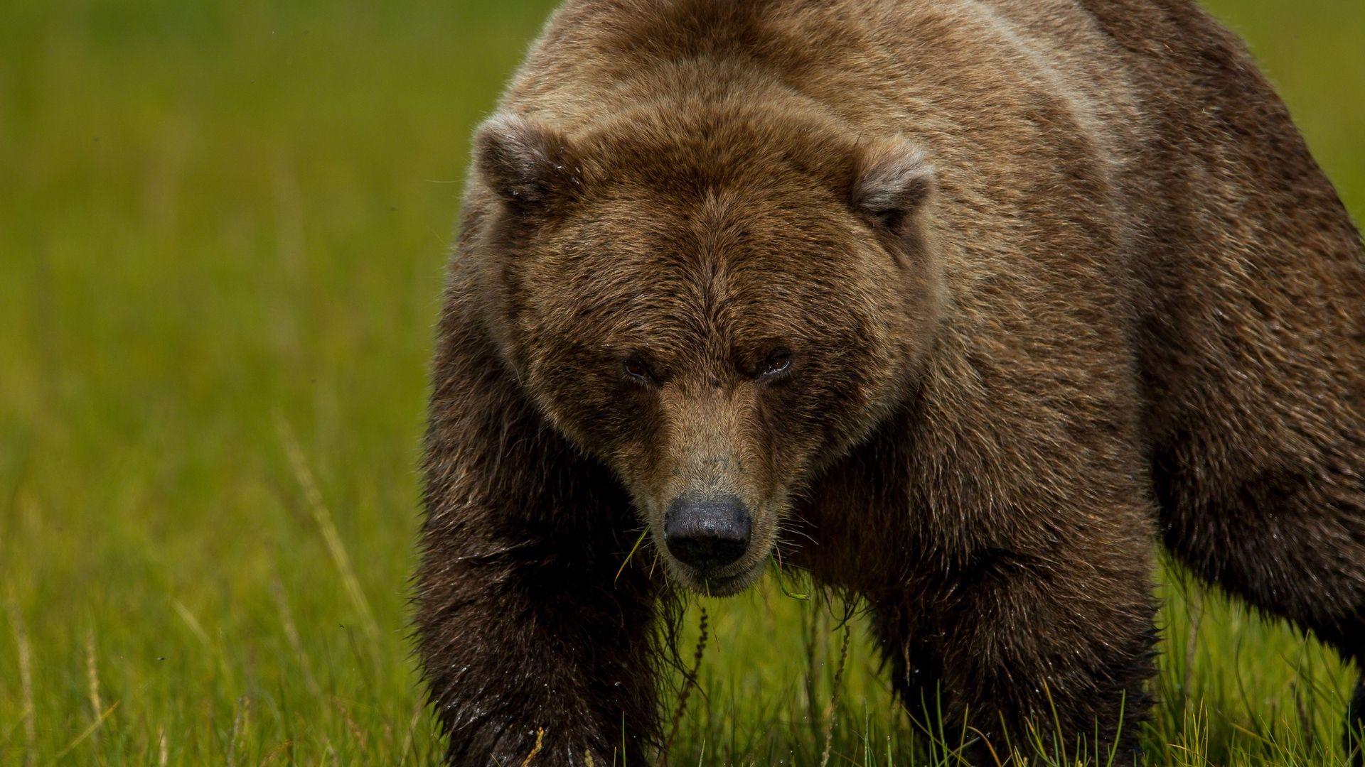Download Brown Bear, Bear Grass, Thick Wallpaper, Background Full