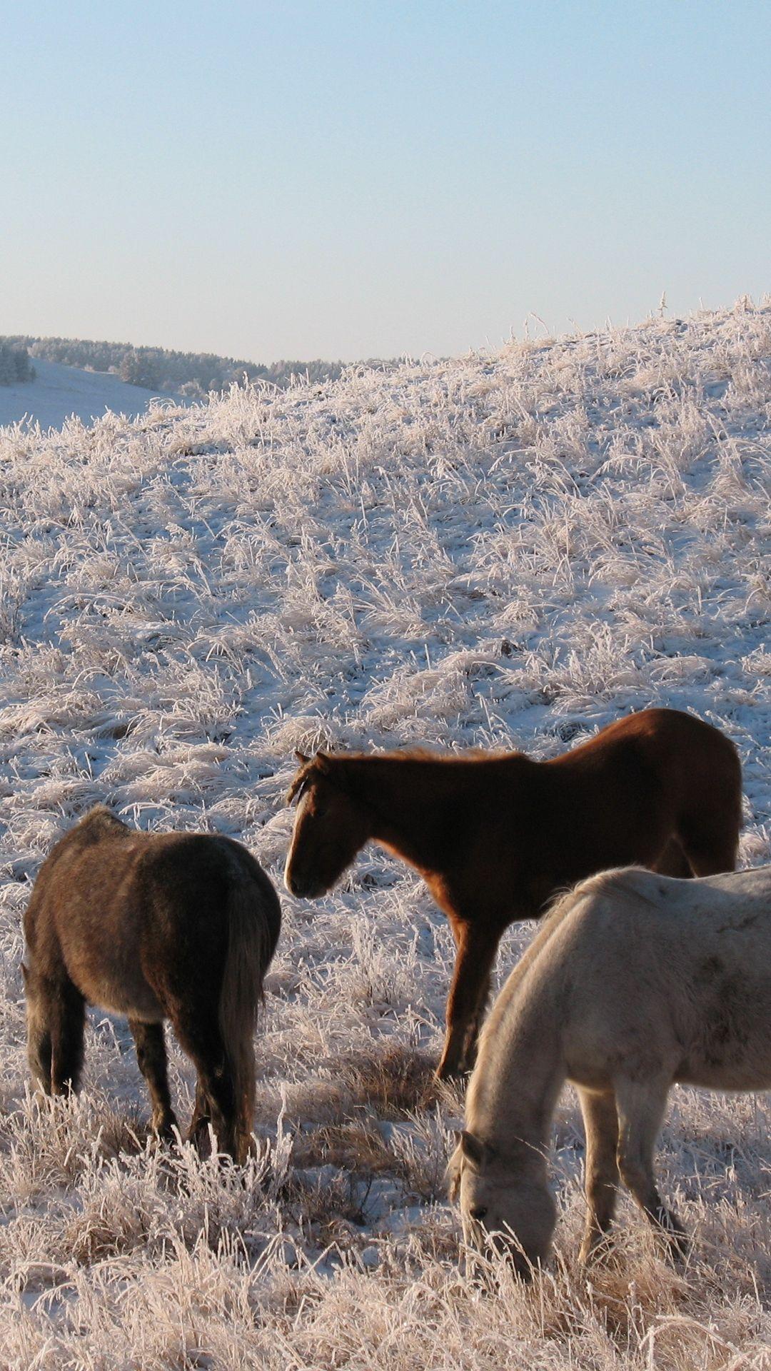 Download Herd, Horse, Mare, Winter, Pasture, Frost Wallpaper, Bac