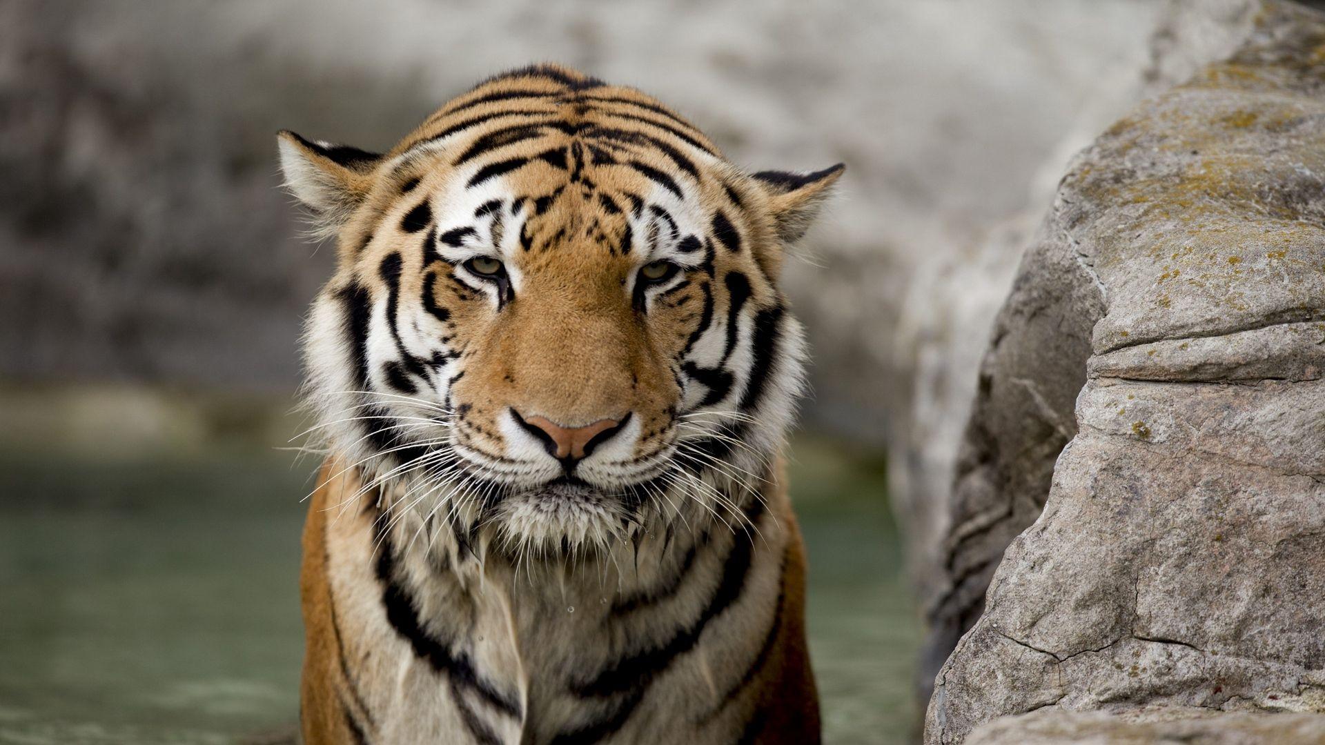 Download Tiger Face Stone Big Cat Wallpaper, Background