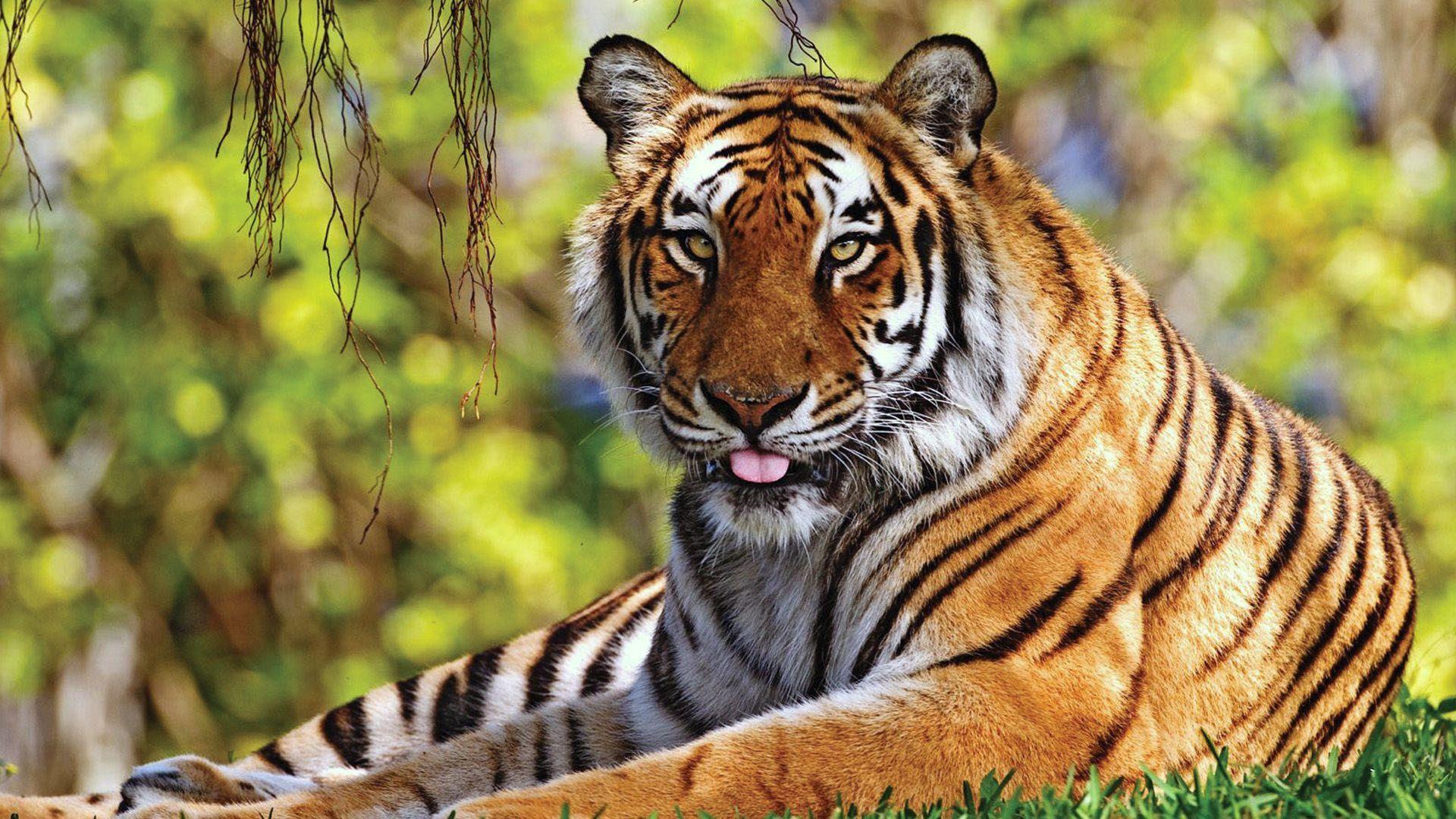 Download Tiger, Grass, Lie Down, Rest, Predator Wallpaper