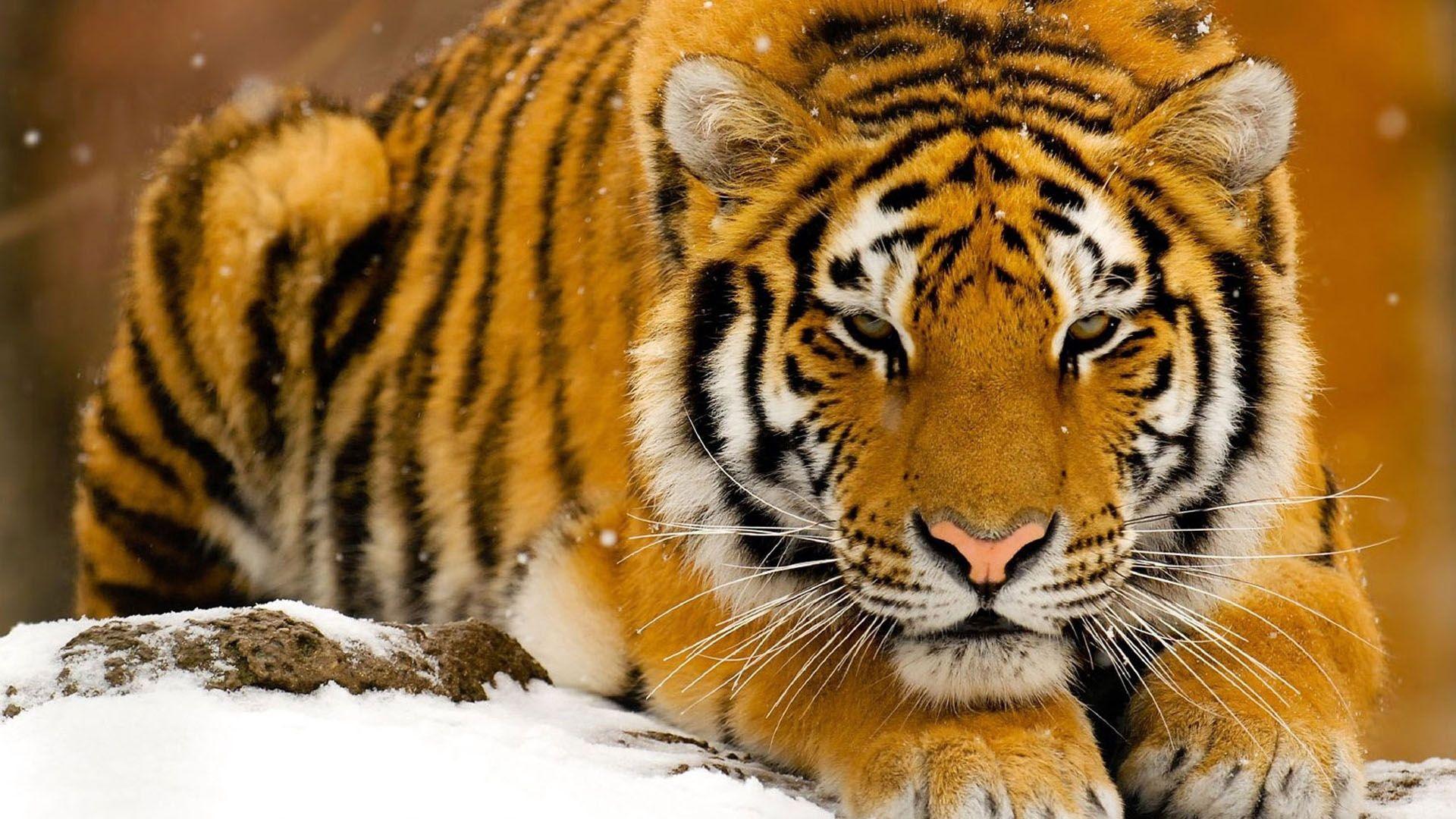 Download Tiger, Predator, Big Cat Snow Lie Face Wallpaper