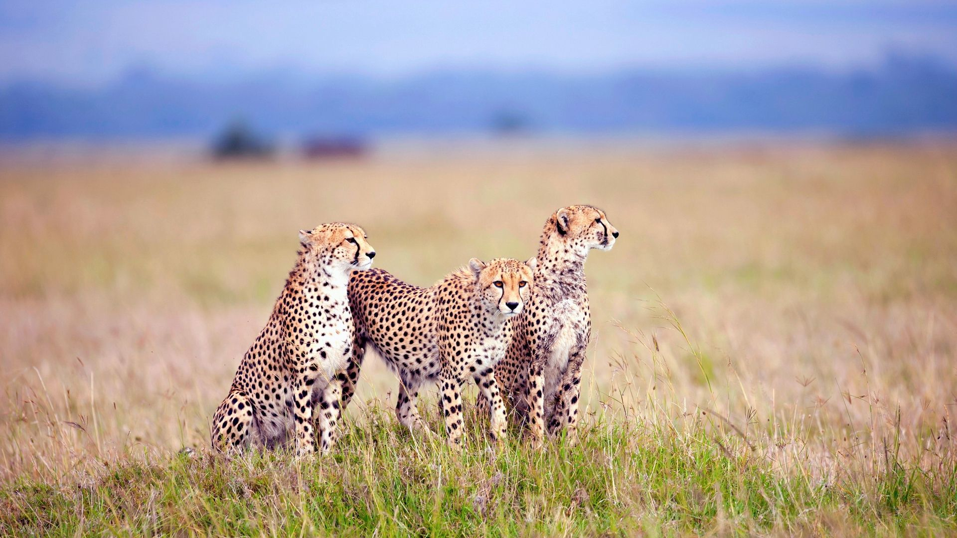 Downloadcheetahs, Field, Grass, Three, Predators Wallpaper, Back