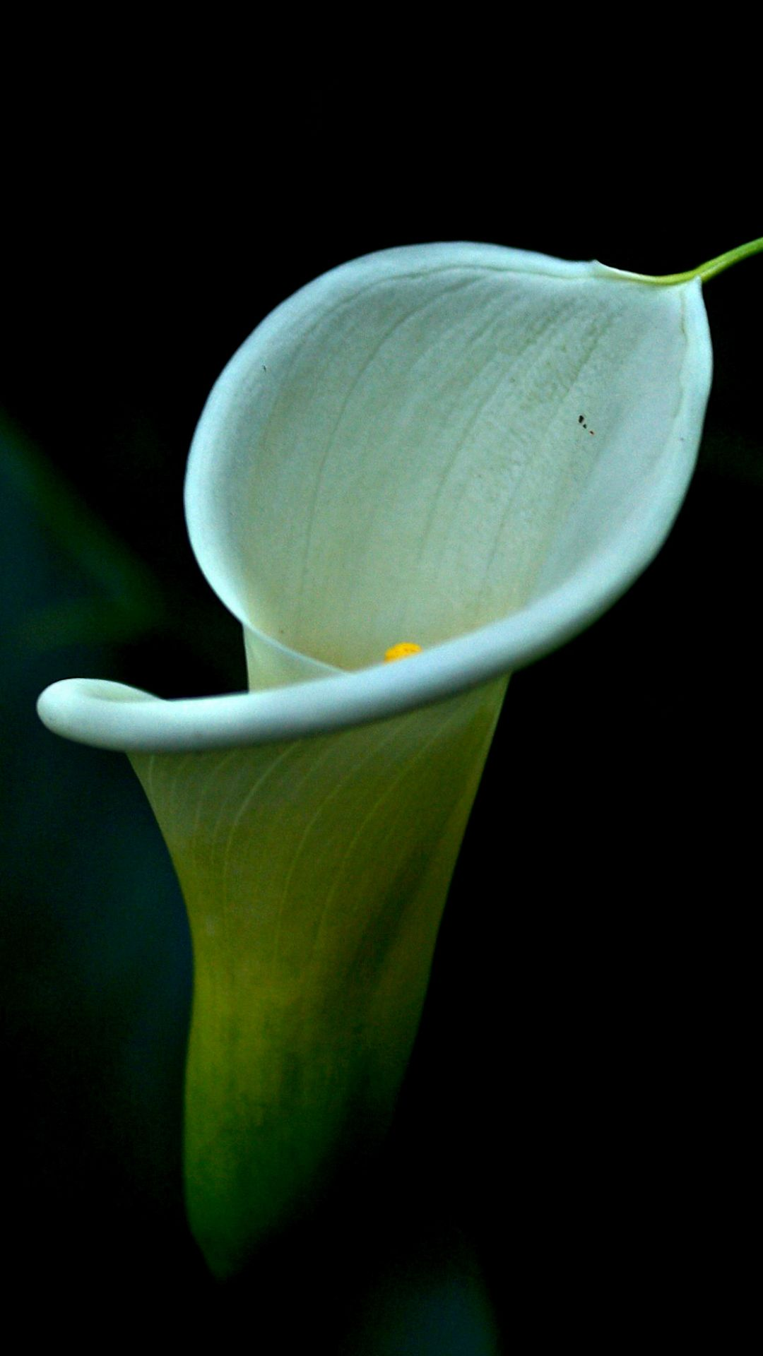 Earth Calla Lily Flowers Flower Mobile Wallpaper