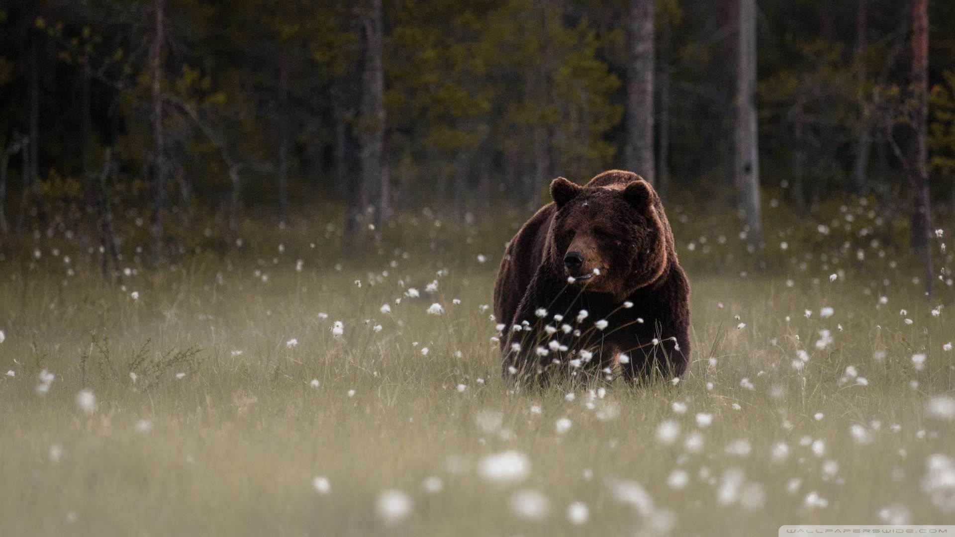 Forest Bear Wallpapers Hd