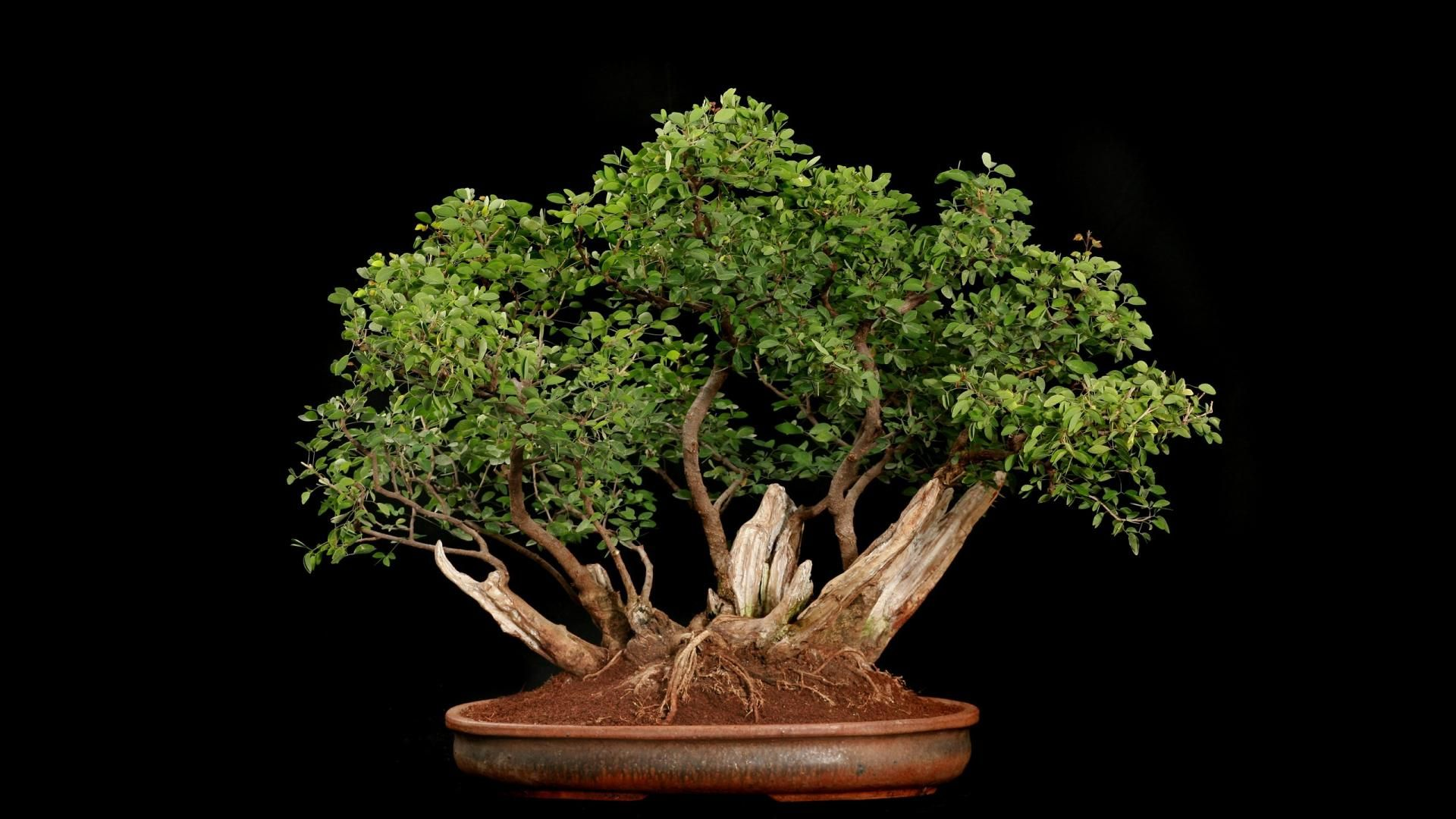 Freebonsai Wallpaper For Android For Desktop
