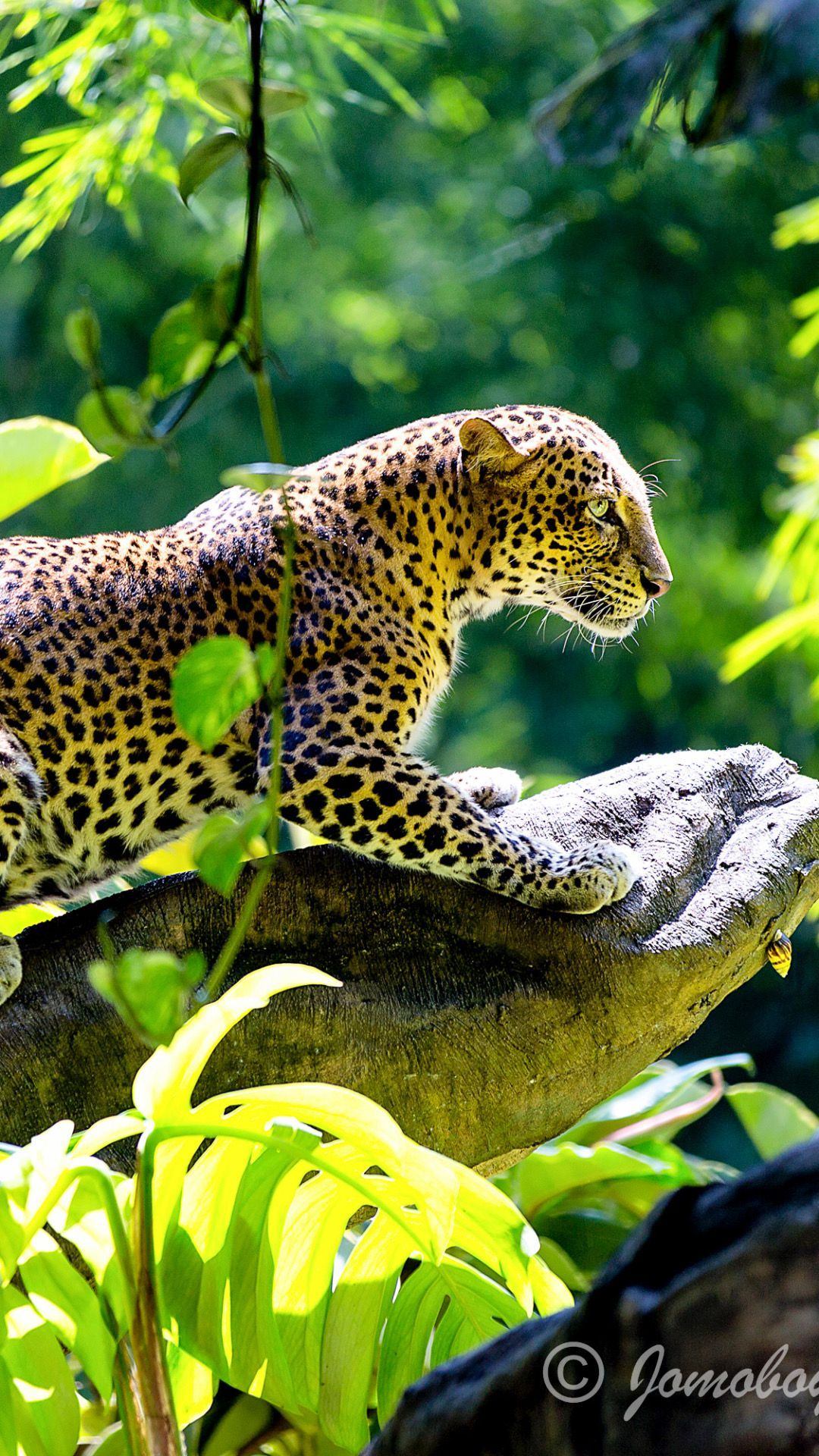 Jaguar Wallpaper, Iphone Wallpaper, Black Jaguar, Wallpaper Free Download,