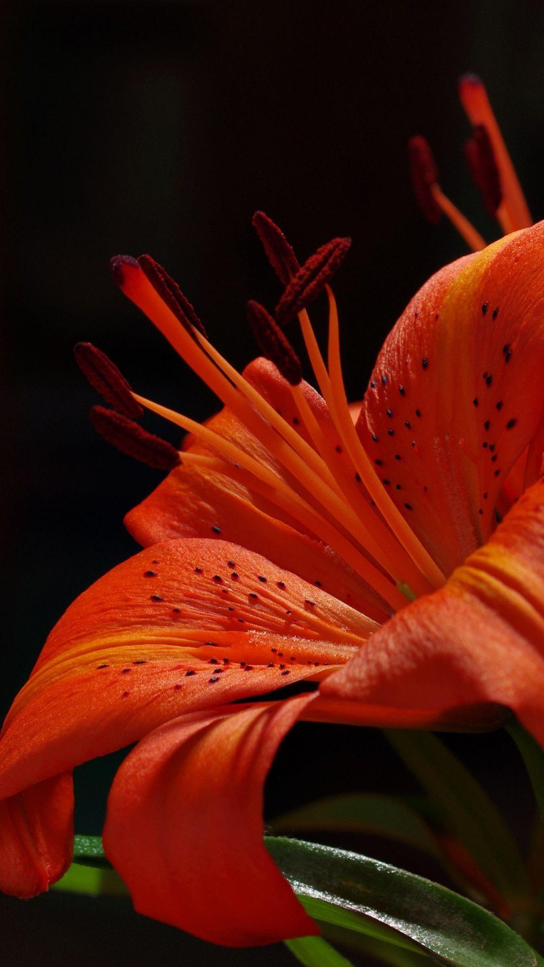 Orange Garden Lily Wallpaper