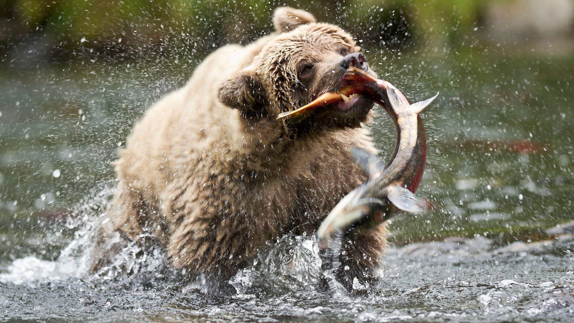 Pictures Bear, Fish, Splash Wallpaper, Picture