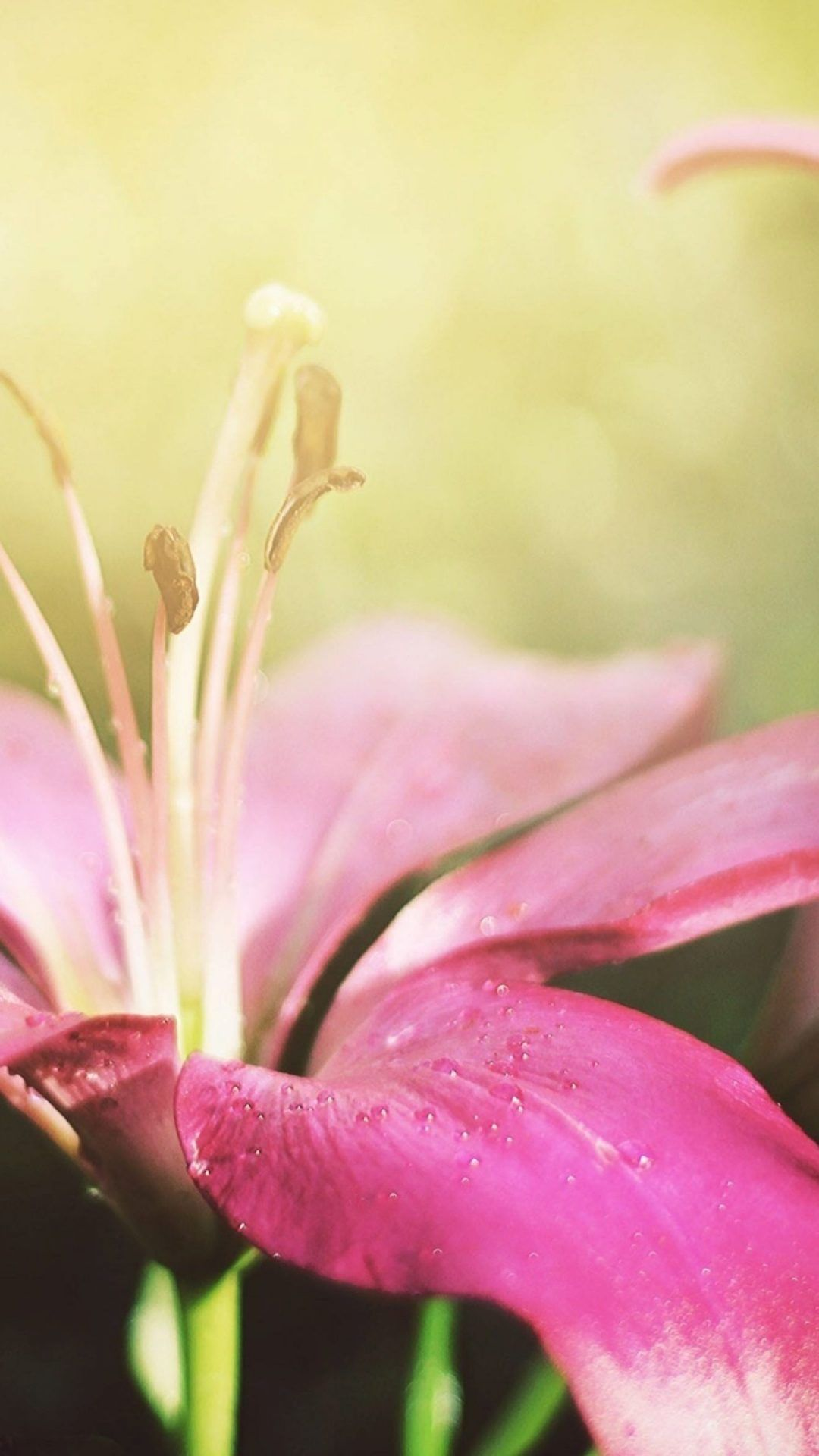 Pink Lily Flower Ultra Hd Wallpaper For Iphone S Plus