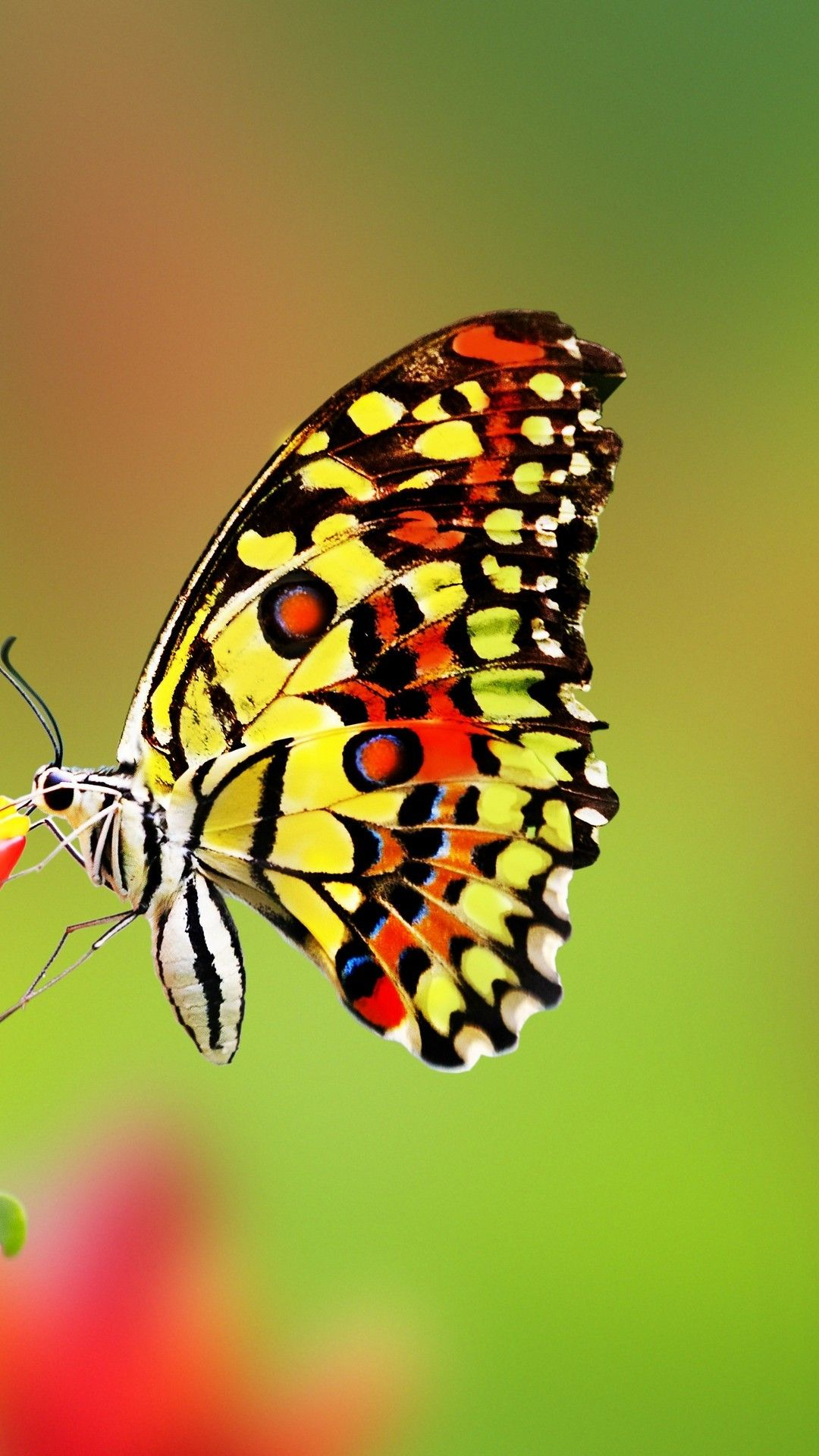 Related Wallpaper For Butterfly Iphone Wallpapers