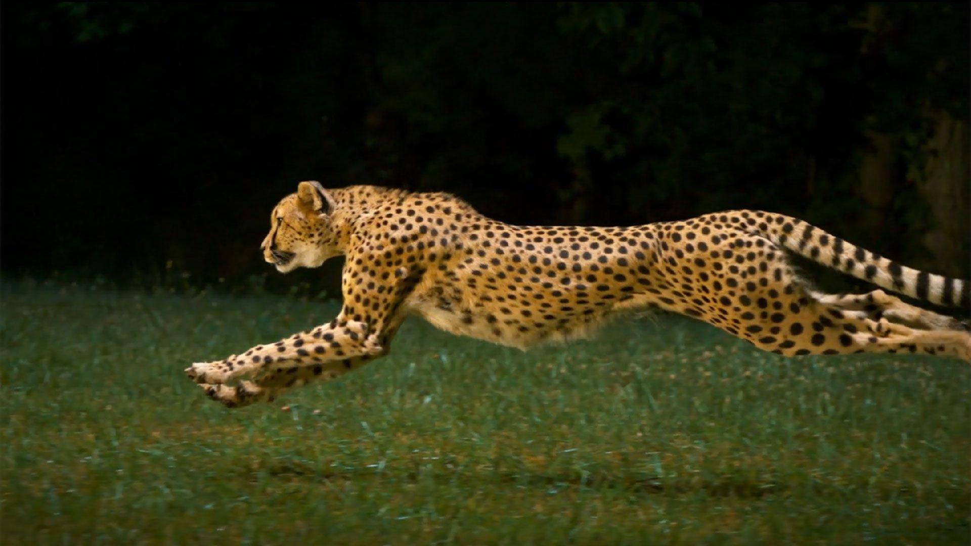 Running Cheetah Hd Wallpapers