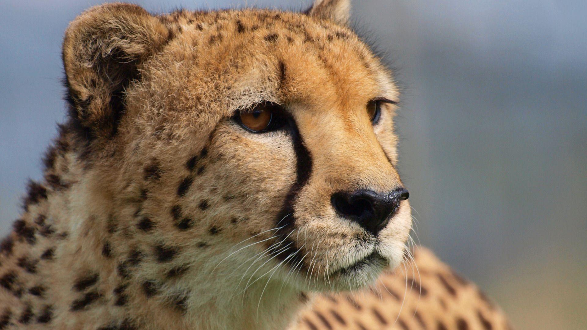 The Wallpapers Opinion, Predator, Big Cat, Cheetah