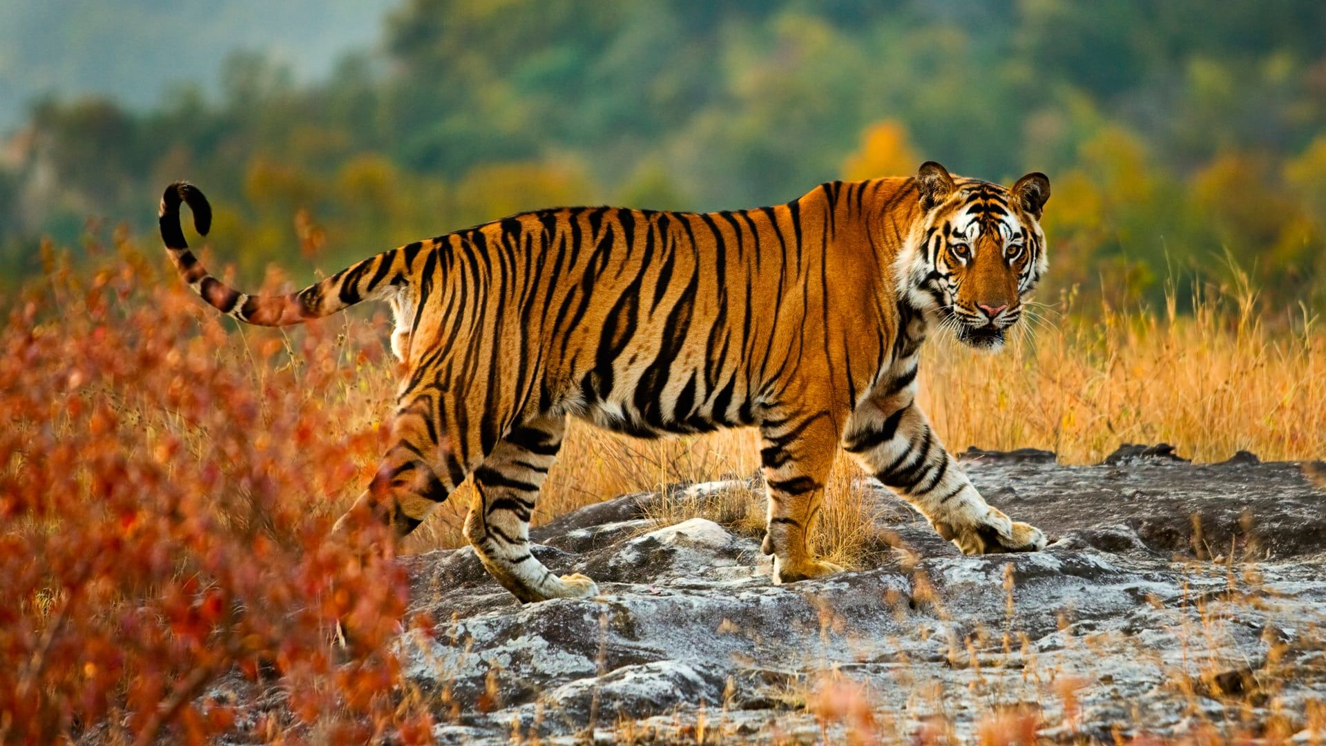 Tiger See You
