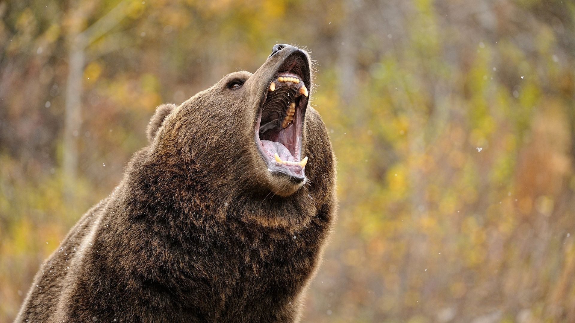 Wallpaper Brown Bear Bears Animals Angry Grizzly Bear Angry Ry
