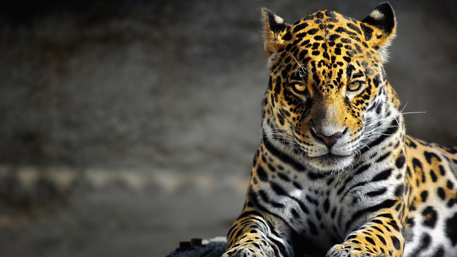 Wallpaper Cheetah, Lie, Wild Cat, Spotted