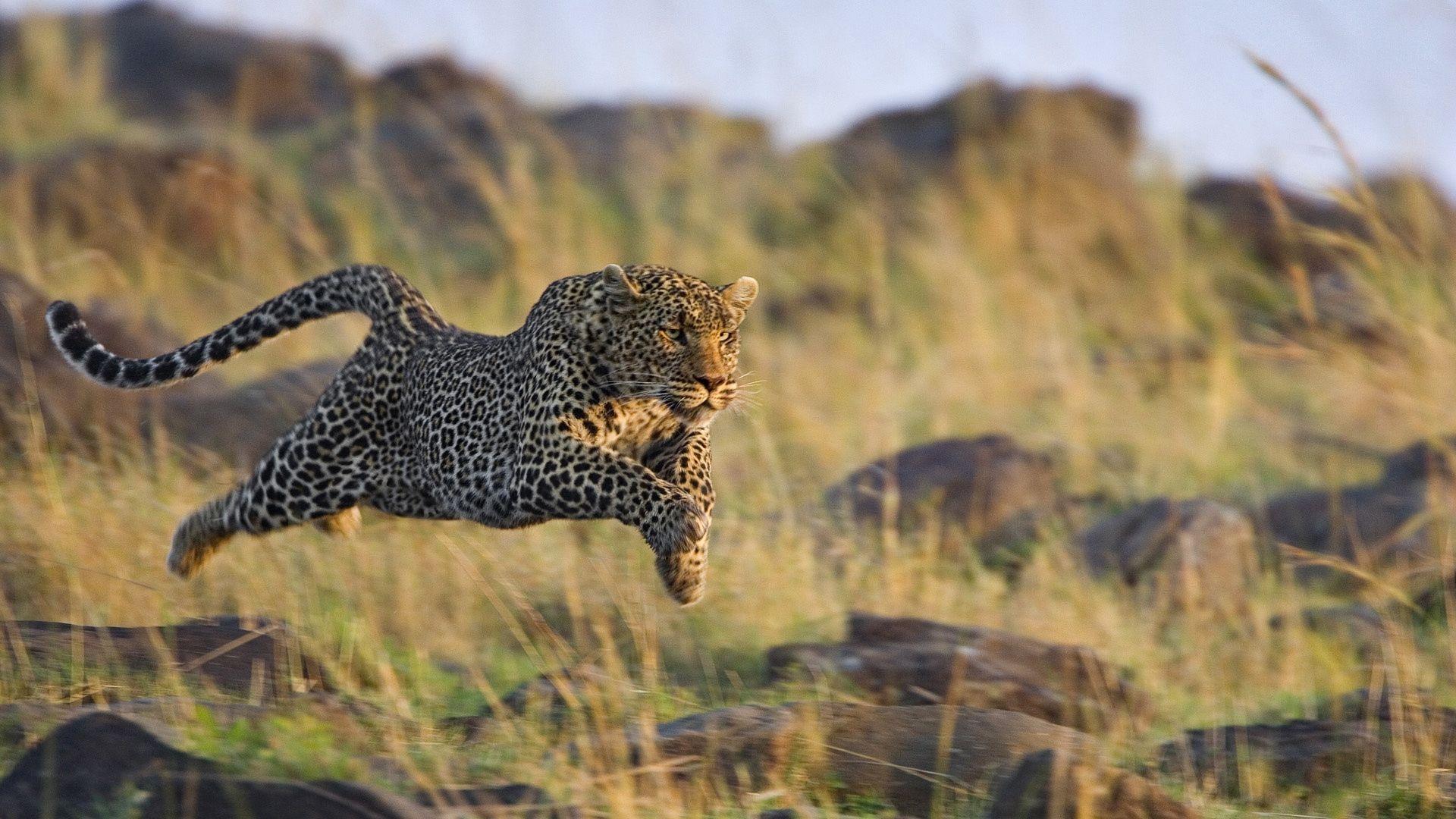 Wallpaper Leopard, Grass, Run, Jump, Hunt