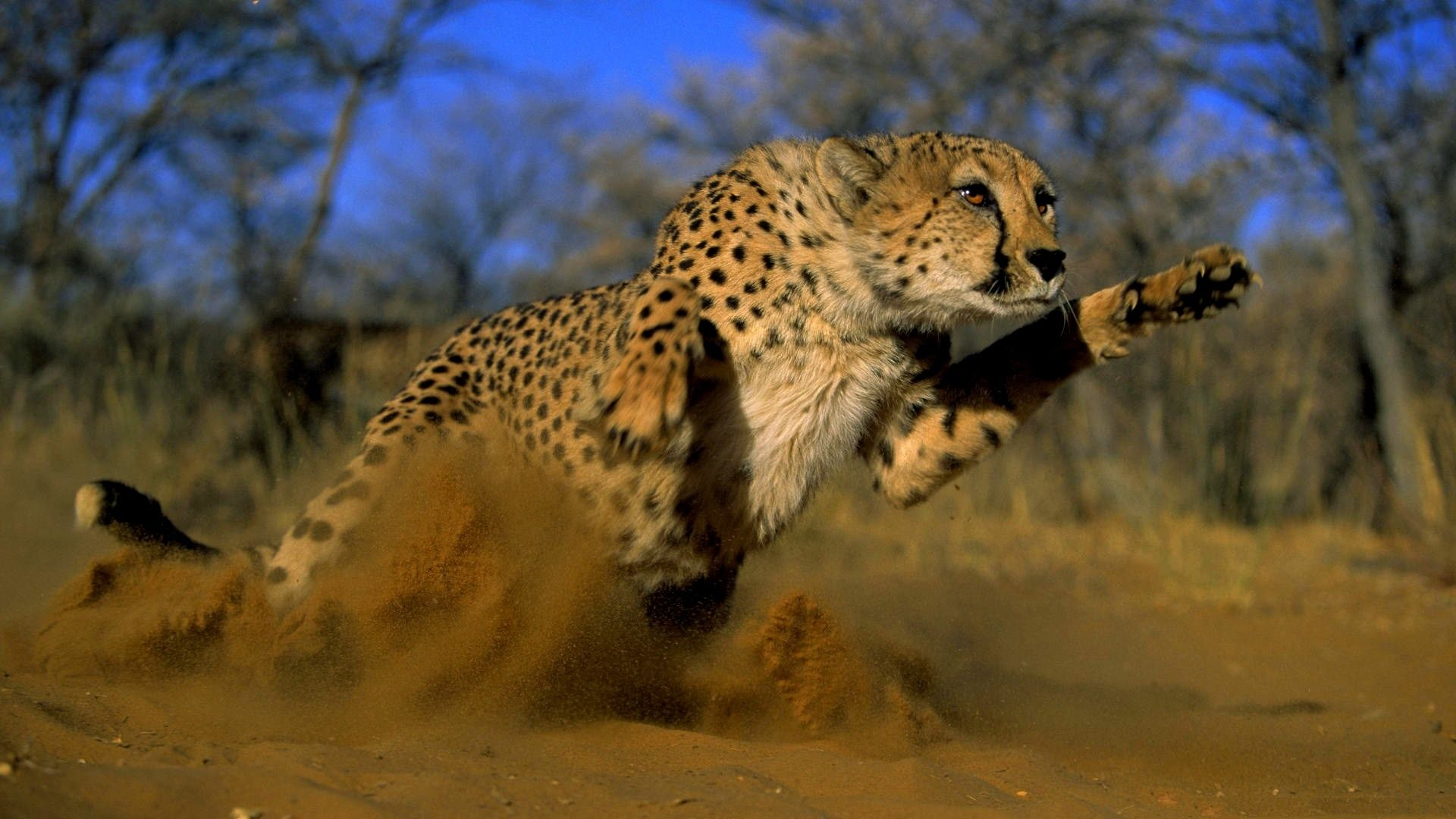 Wallpaper Sand, Cat, Jump, Dust, Cheetah, Wild, Sand, Cat, Jump, Dust