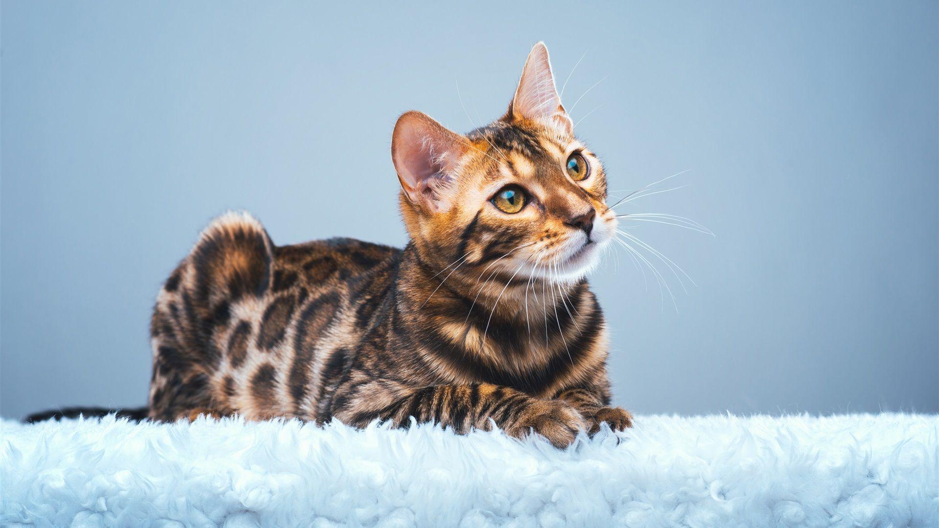 Wallpapers Cute Bengal Cat Look Upuhd K Picture, Image