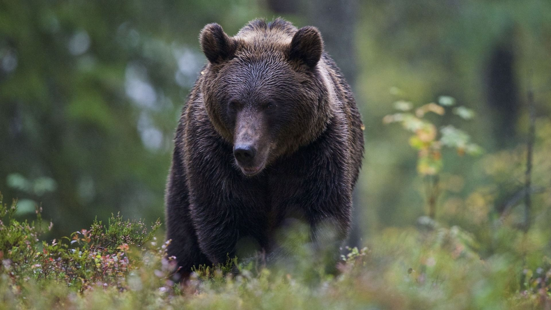 Wallpapers Bokeh, Bear, Forest