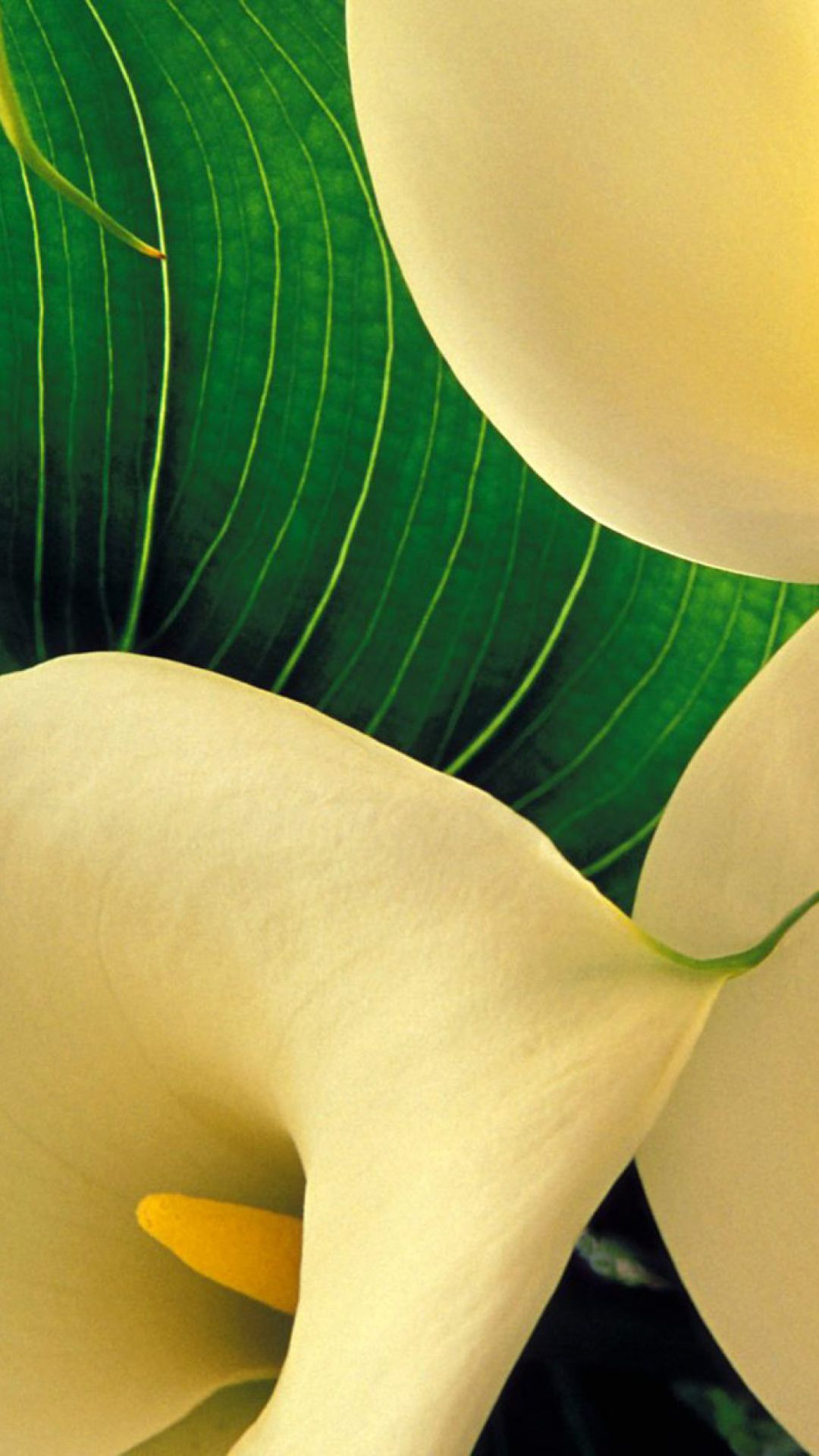 Yellow Calla Lilies Wallpaper For Iphone Plus