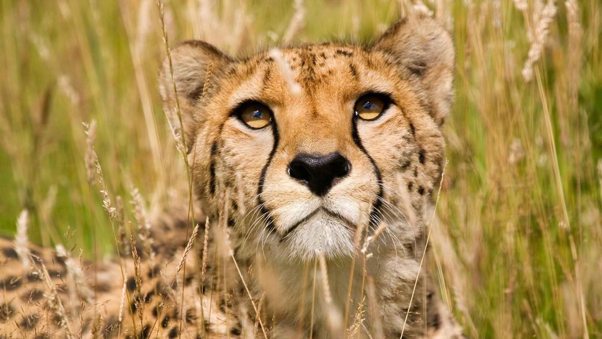 Animals, Grass, Wildlife, Cheetahs Wallpapers