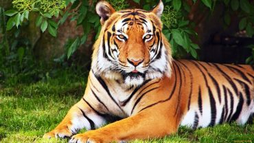 Animals, Tigers, Trees, Grass, Tiger, Red