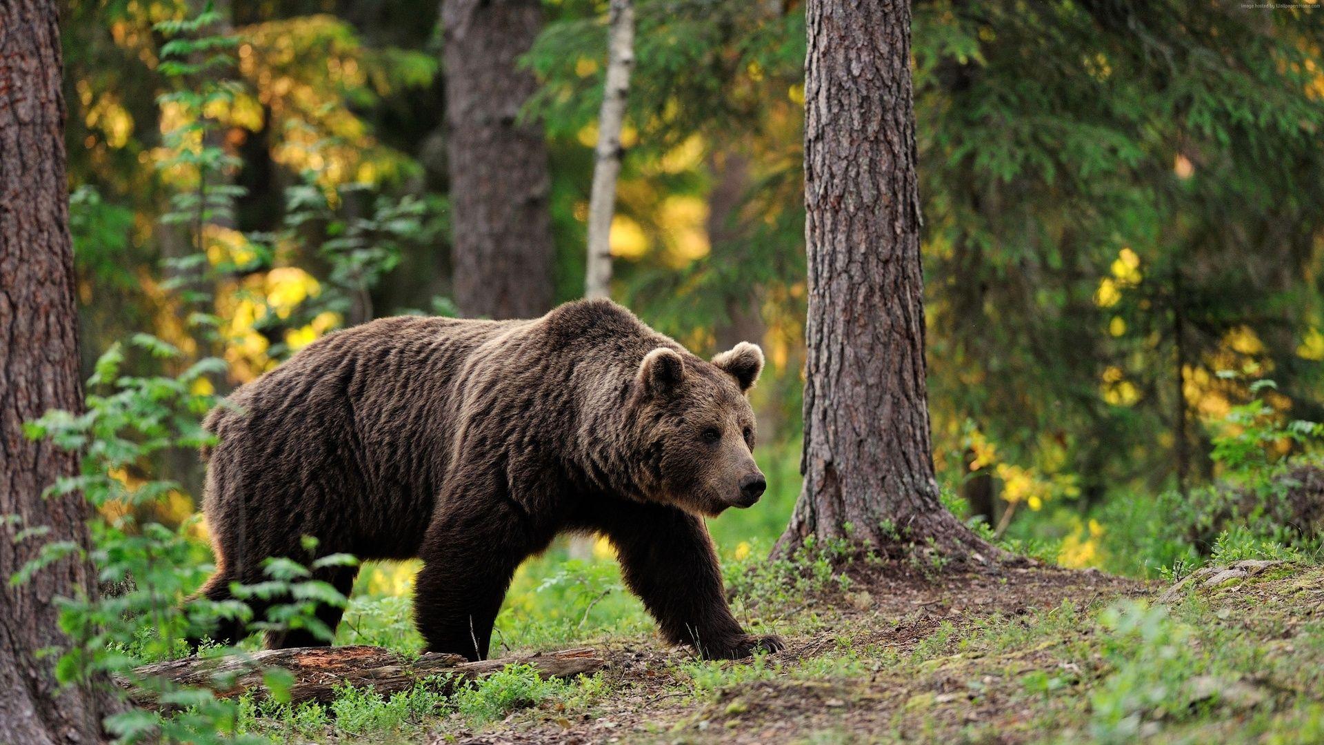 Brown Bear, Forest, Trees, Original