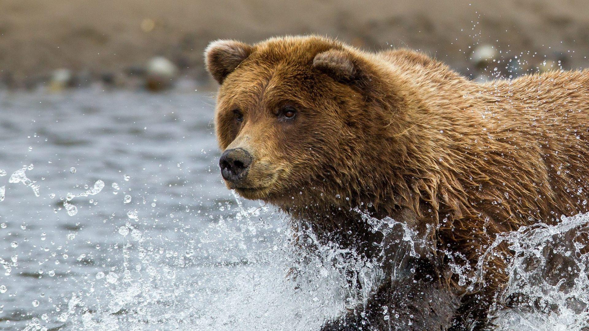 Brown Bear Water Spray Wallpaper