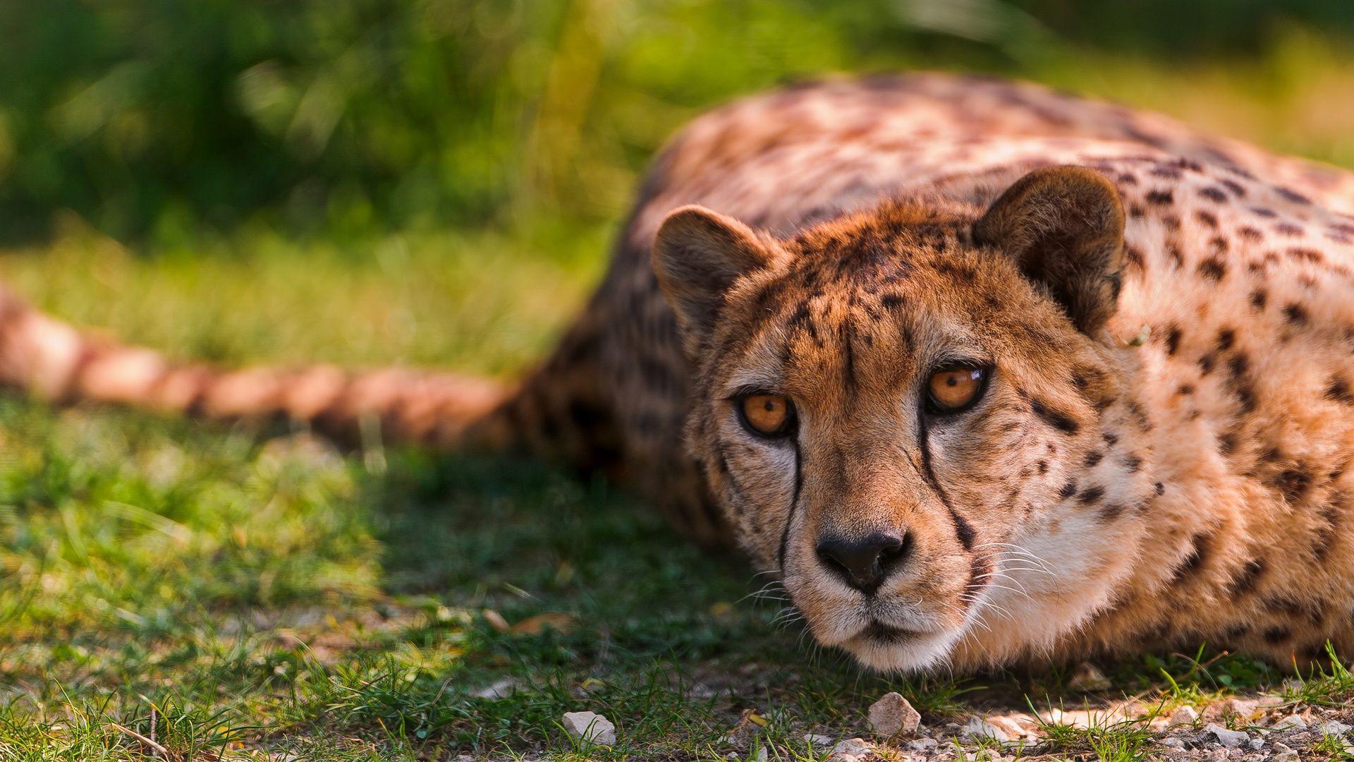 Cheetah Lying Animal Wallpaper