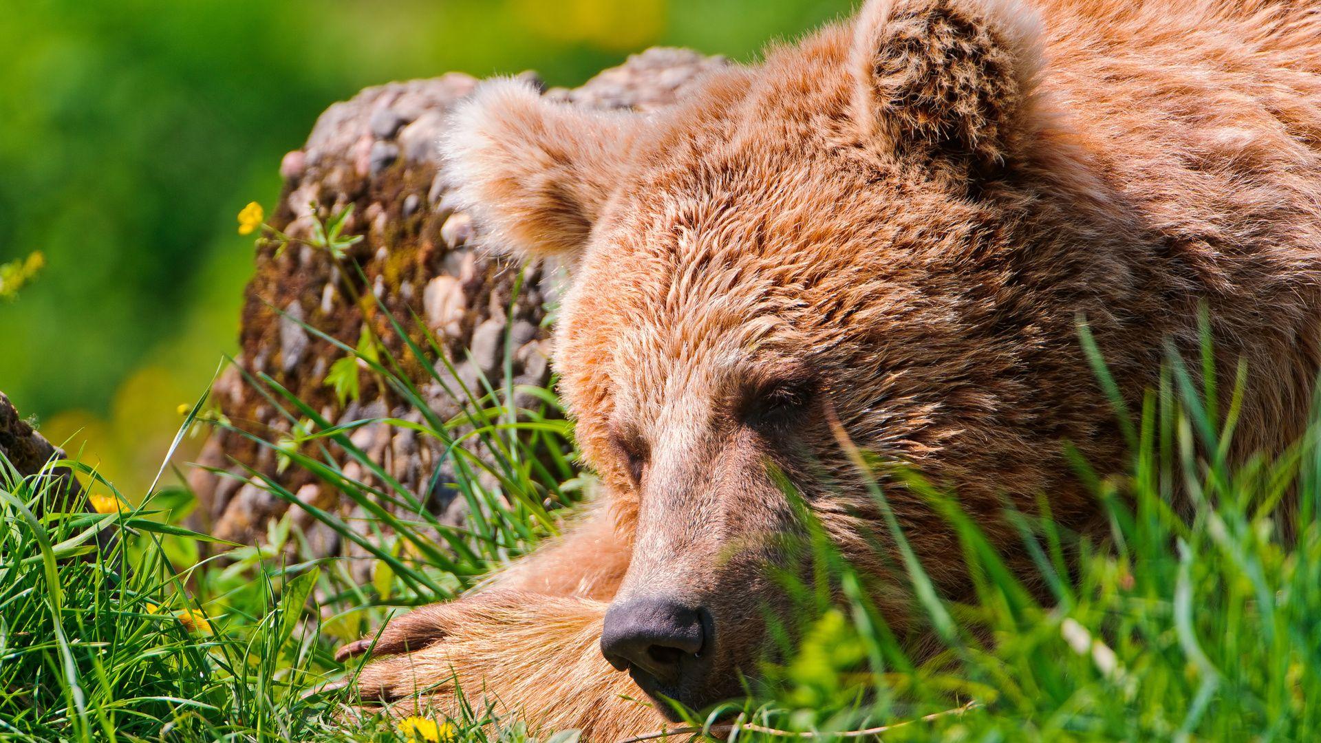 Grass, Sleeping, Rest, Bear