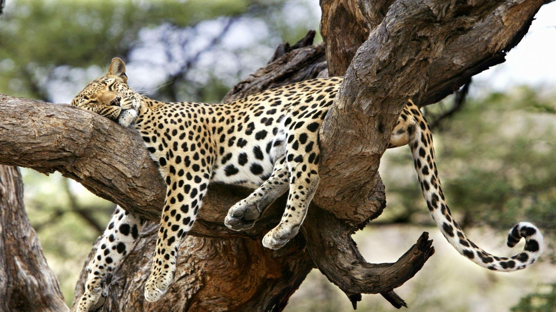 Leopard Lying Big Cat, Predator Wallpapers Full Hd, Hdtv