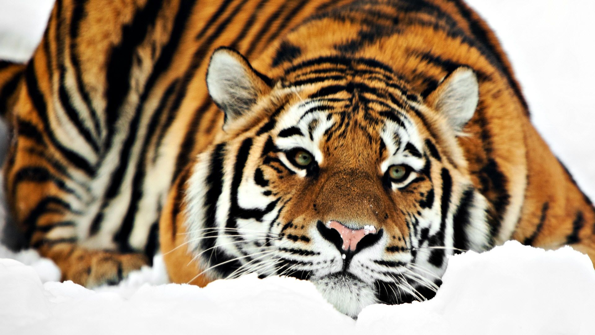 Tiger Hd P Animal Wallpaper