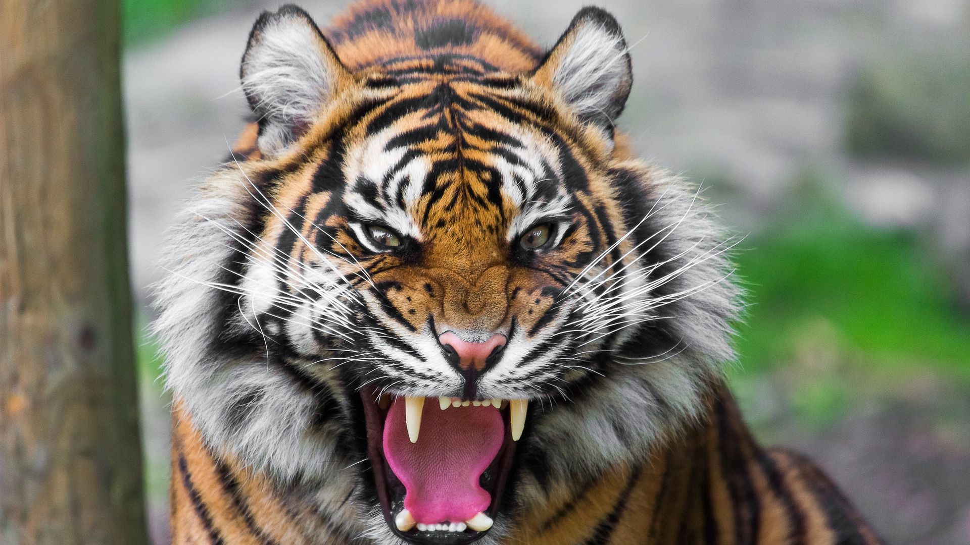Tiger, Predator, Grin, Anger, Aggression Wallpapers Full Hd, Hdtv, Fhd,